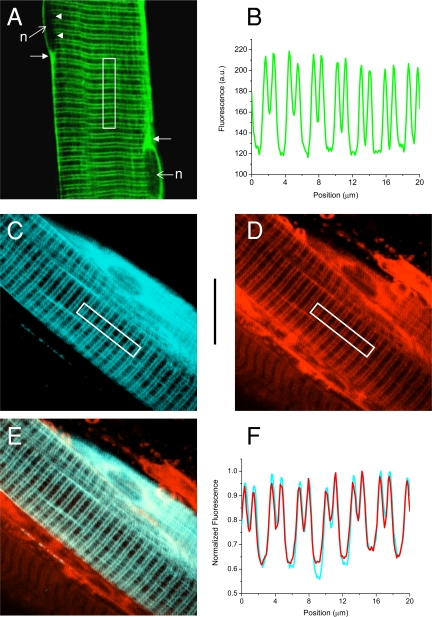 Membrane expression of EGFP-F and ECFP-F in FDB muscle fibers. (A) TPLSM image section obtained at the medial plane of a muscle fiber expressing EGFP-F. n denotes nucleus; arrowheads point to the cytoplasmic side of a nucleus; arrows point toward areas of increased fluorescence close to the poles of nuclei. (B) Fluorescence intensity profile obtained from the area delimited by the white rectangle in A. (C and D) TPLSM image sections of an FDB muscle transfected with pECFP-F and stained extracellularly with di-8-ANEPPS. ECFP-F and di-8-ANEPPS fluorescence images are shown in C and D, respectively. (E) Superimposition of image sections in C and D. (F) Normalized fluorescence intensity profiles measured from the area delimited by the rectangles in Fig. 2, C (cyan trace) and D (red trace). The vertical calibration bar is 20 μm and applies to all the images.