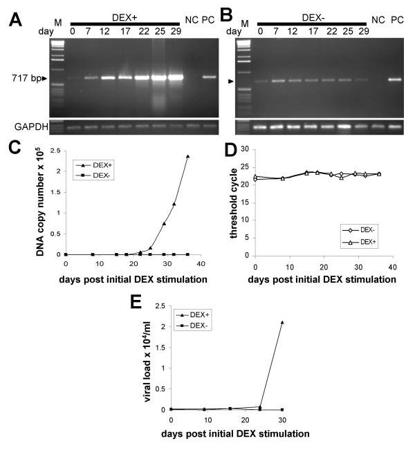 Quantification of proviral DNA and viral RNA in cell lysates and supernatants of the third-round infected human breast cells during a time-course experiment . (A and B) The third-round infected cells were cultured in the presence (A) or absence (B) of 10 -6 M DEX. Genomic DNA was extracted from the infected cells at the indicated time points and semiquantitative PCR was performed. NC: non-transduced HS578T cells. PC: second-round infected Hs578T cells. Equal DNA loading was controlled in a PCR assay with GAPDH-specific primers (bottom panels). M: 1 kb marker. (C) Real-time TaqMan PCR quantifying proviral loads in the infected Hs578T cells during the time-course experiment. (D) Equal loading of the PCR reactions was controlled in a Real-time TaqMan PCR specific for GAPDH gene. (E) The viral RNA was quantified by Real-time RT-PCR in cell culture fluids of the infected Hs578T cells grown either in the presence or absence of 10 -6 M DEX.