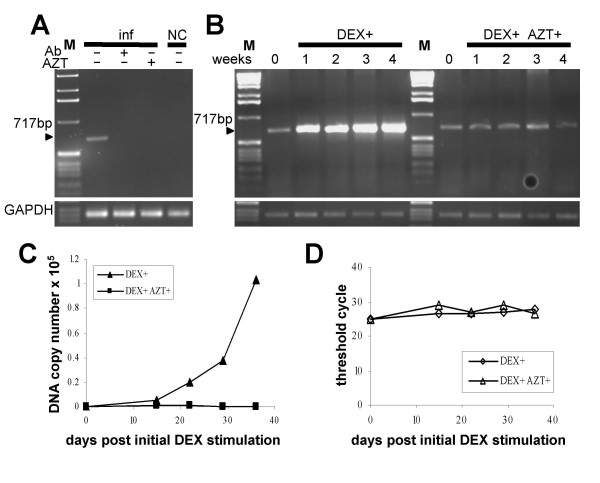 Neutralization of viral infectivity and AZT treatment . (A) The presence of proviral DNA in the infected Hs578T cells was determined by PCR. The virus released from the second round infected Hs578T cells was, prior infection, pre-incubated either with anti-MMTV neutralizing antibody (Ab) or PBS. Where indicated AZT was added to the cells infected with the virus. NC: non-infected Hs578T cells. M: 1 kb marker. (B) Spread of the virus was abrogated in medium containing AZT. The third-round infected Hs578T cells were cultured for four weeks in medium containing DEX either supplemented with AZT or not and the presence proviral DNA was monitored by a semiquantitative PCR. GAPDH-specific PCR was used to demonstrate equal loading of all PCR reactions (bottom panels). M: 1 kb marker. (C) Real-time TaqMan PCR quantifying proviral loads in the infected Hs578T cells during the AZT treatment experiment. (D) Equal loading was contolled in a Real-time TaqMan PCR specific for GAPDH gene.