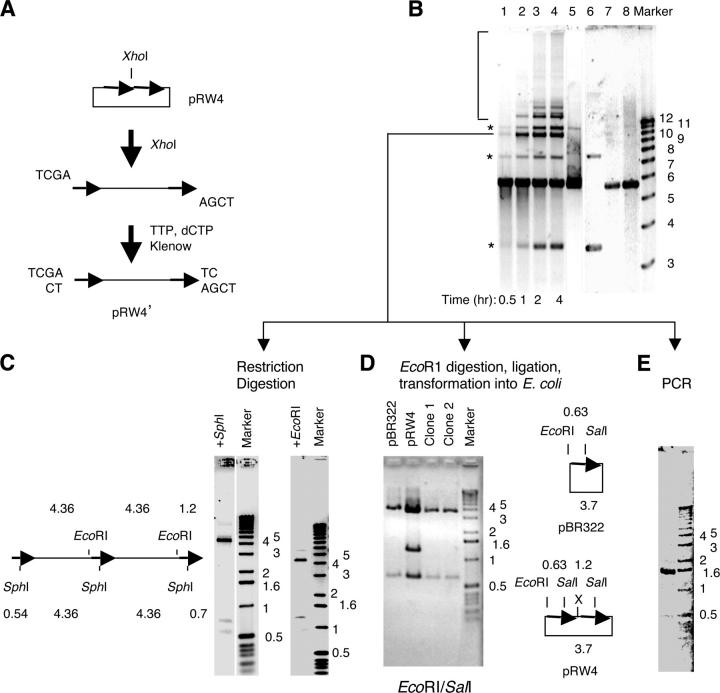 Establishment of SSA in NPE. (A) Preparation of the SSA substrate pRW4′. Plasmid pRW4 was digested with Xho I and then partially filled in by TTP and dCTP with Klenow (exo - ; NEB, NE). (B) pRW4′ (12 ng/μl) was incubated in NPE at room temperature. Samples were taken at the indicated times, treated with SDS/proteinase K, and separated on a 1% agarose gel. Lanes 1–4: time points of the reaction in NPE; lane 5: Xho I-digested pRW4 ligated with T4 DNA ligase; lane 6: uncut pRW4; lane 7: pRW4′; lane 8: pRW4′ ligated with T4 DNA ligase. Bands indicated by (*) are NHEJ products. (C) Restriction digestion of the 10-kb repair product (indicated by the line in B). Left: predicted digestion pattern by Sal I and EcoR I; middle and right: gel electrophoresis of the digested DNA. The faint bands above the 4.36 band are due to partial digestion. (D) Restriction digestion of the cloned EcoR I fragment. Left: gel electrophoresis of the digested plasmid; right: predicted digestion patterns of the pBR322 plasmid and pRW4 plasmid. X: Xho I site. (E) Gel electrophoresis of the junction DNA directly amplified from the 10-kb repair product.