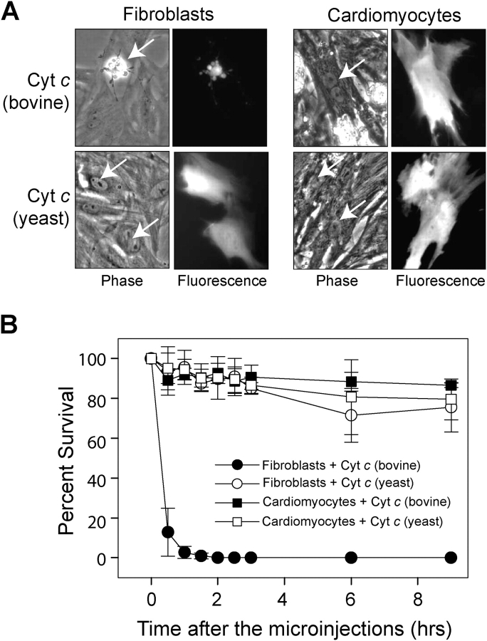 Cytosolic microinjection of cytochrome c induces death in fibroblasts but not cardiomyocytes. Neonatal rat cardiomyocytes and dermal fibroblasts were microinjected with 25 μg/μl of bovine or yeast cytochrome c , and cell survival (using morphological criteria) was assessed at multiple times after the injections. (A) Phase-contrast and fluorescence photographs of the cells 3 h after the injections of cytochrome c . The injected cells (arrows) were identified by the presence of rhodamine dextran coinjected with the cytochrome c . (B) Quantitation of cell survival. Data shown are the mean ± SEM of three independent experiments.