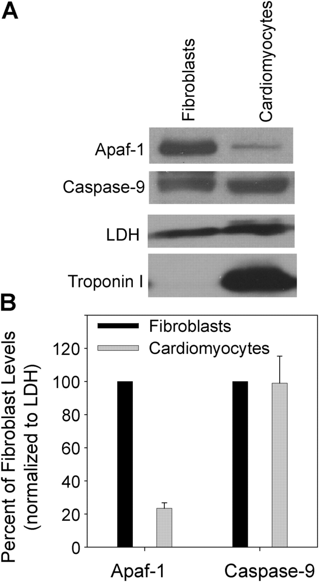 Apaf-1 but not caspase-9 levels are markedly reduced in cardiomyocytes in comparison to fibroblasts. (A) Western blots showing levels of Apaf-1 and caspase-9 proteins (and LDH and Troponin I as controls) in cultures of rat dermal fibroblasts and cardiomyocytes. (B) Quantitation of the data in which Apaf-1 and caspase-9 protein levels detected in cardiomyocyte cultures are expressed as a percentage of the levels (normalized to LDH) seen in fibroblast cultures. Data shown are the mean ± SEM of three independent experiments.