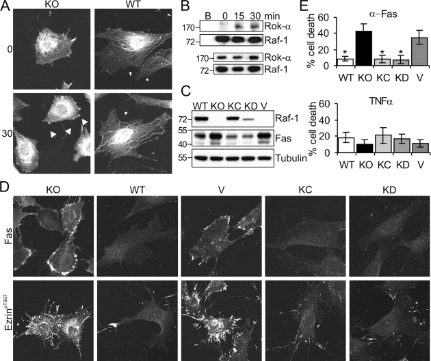 Endogenous Raf-1 coimmunoprecipitates with Rok-α upon Fas stimulation, and Raf-1 kinase activity is dispensable for the regulation of Fas surface expression. (A) Rok-α is mislocalized in unstimulated and αFas-treated KO fibroblasts. WT and KO fibroblasts were treated with αFas as described in Fig. 2 A. The subcellular localization of Rok-α was determined by immunofluorescence. Arrowheads indicate Rok-α staining in the blebs, which was observed in 66 ± 2% of stimulated KO cells. (B) Fas stimulates the formation of a Raf-1–Rok-α complex. WT MEFs were stimulated with 2 μg/ml αFas, and Raf-1 IPs were prepared at the indicated times. The presence of Raf-1 and Rok-α in the IP (top) and in the input (bottom) was detected by immunoblotting. B, lysates incubated with protein A–Sepharose beads only. (C and D) Expression of KC or KD Raf-1 restores normal Fas expression, ezrin phosphorylation/distribution, and sensitivity to Fas-induced apoptosis in Raf-1 −/− MEFs. (C) The amount of Fas and Raf-1 in whole cell lysates was determined by immunoblotting. Molecular mass markers are shown in kilodaltons on the left. (D) Fas surface expression and ezrin phosphorylation/distribution were analyzed by immunofluorescence. The pictures shown are representative of 90 ± 1% KC and 87 ± 4% KD cells. (E) Sensitivity to αFas or TNFα-induced apoptosis was determined as described in Fig. 1 A. The values represent the mean ± SD (error bars) of at least three independent clones, each assessed in at least two independent experiments. *, P