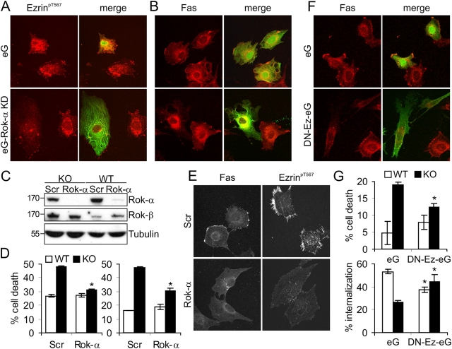 Interfering with Rok-α and ezrin restores normal sensitivity to Fas-induced apoptosis in Raf-1–deficient fibroblasts. (A and B) Transfection with DN Rok-α (eG–Rok-α KD) prevents ezrin hyperphosphorylation (A) and Fas clustering (B) in Raf-1 KO cells. Reduced ezrin phosphorylation and lack of Fas clustering were observed in 89 ± 3% of the cells transfected with eG–Rok-α KD. (C–E) Silencing Rok-α expression reduces Fas sensitivity, Fas clustering, and ezrin hyperphosphorylation in KO cells. (C) Expression of Rok-α was assessed by immunoblotting 72 h after transfection with scrambled (SCR) or Rok-α siRNA. The related kinase Rok-β is shown as a specificity control and tubulin as a loading control. (D) KO and WT MEFs were transfected with Rok-α or SCR siRNA. Apoptosis was induced with 50 ng/ml αFas (5 μg/ml Chx for 22 h) and detected as described in Fig. 1 A. The values represent the mean ± SD (error bars) of triplicates. Two independent transfections are shown. *, P