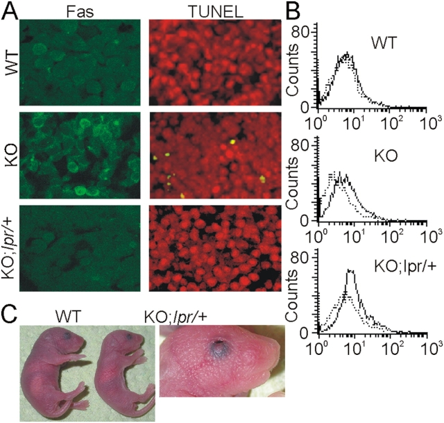 Heterozygosity at the lpr or gld locus prevents fetal liver apoptosis and embryonic lethality as a result of c-raf-1 ablation. (A) Heterozygosity at the lpr locus prevents fetal liver apoptosis in Raf-1 KO embryos. Parasagittal section of E11.5 livers from WT, Raf-1 KO, and Raf-1 KO; lpr/ + embryos. Note the presence of Fas clusters in Raf-1 KO fetal livers and the reduction in Fas staining in the Raf-1 KO; lpr/ + liver. Apoptotic (TUNEL + ) cells are absent in Raf-1 KO; lpr/ +. (B) Increased Fas surface expression in KO fetal liver cells. Fas expression (solid lines) was determined by FACS analysis as described in Fig. 1 B. Dashed lines, isotype controls. (C) Comparison of a Raf-1 KO; lpr/ + pup (right), a control littermate (left), and eyes open at birth phenotype of the Raf-1 KO; lpr/ + pup (right). The experiments were performed exclusively with F2 animals.