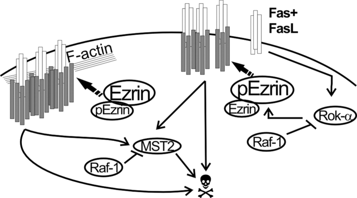 Role of Raf-1 in Fas-mediated apoptosis: a working model. Fas binding to FasL stimulates DISC formation and internalization. Both of these processes depend on the linkage of Fas to the cytoskeleton. Phosphorylation of ezrin on T567 by Rok-α promotes Fas clustering but reduces DISC formation and internalization, generating a prolonged, albeit less efficient, Fas signal. In WT cells, formation of a Raf-1–Rok-α complex restrains Rok-α activity and ezrin phosphorylation. In addition, direct binding to Raf-1 prevents the dimerization and phosphorylation of the proapoptotic kinase MST-2 ( O'Neill et al., 2004 ). In the absence of Raf-1, Rok-α activity and ezrin phosphorylation generate a prolonged Fas signal, boosted by unrestrained MST-2 stimulation. White rods, Fas; gray rods, DISC components.