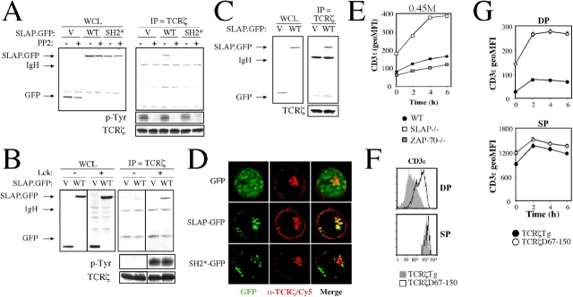 SLAP interacts with phospho-TCRζ via the SLAP SH2 domain. (A) Immunoprecipitates of endogenous TCRζ from Jurkat T cells transiently transfected with GFP (V), SLAP-GFP (WT), or SH2-GFP (SH2*) as assessed by Western blot analysis. Half of each transfection was pretreated with the Src family kinase inhibitor PP2 before immunoprecipitation (IP). WCL, whole cell lysate. (B) Immunoprecipitates of TCRζ from JCaM1 (Lck−/−) or JCaM1 stably reconstituted with Lck, as assessed by Western blot analysis. Cell lines were transiently transfected with either GFP or WT-GFP. Dividing lines have been placed to indicate where irrelevant lanes were deleted from the figure. Phospho-TCRζ observed in A and B reflects basal TCRζ phosphorylation that is present in unstimulated cells. (C) Immunoprecipitates of TCRζ from the ZAP-70−/− Jurkat T cell line P116 transfected with GFP or SLAP-GFP, as assessed by Western blot analysis. (D) Localization of GFP fluorescence (green) and endogenous TCRζ (red) in Jurkat T cells that were transiently transfected with GFP, SLAP-GFP, or SH2-GFP as analyzed by deconvolution microscopy. Data are representative of ≥10 cells analyzed per transfection for three independent experiments. (E) MFI of CD3ɛ expression on ZAP-70−/− DP thymocytes incubated in hypertonic medium. Data are the mean of three mice of each genotype ± SEM. Thymocytes from one WT and one SLAP−/− mouse were used for comparison. (F) FACS analysis of CD3ɛ expression on DP and SP thymocytes in the presence (TCRζ Tg) or absence (TCRζ D67–150) of most of the TCRζ cytoplasmic domain. Histograms are representative of three mice per genotype. (G) MFI of CD3ɛ expression on DP and SP thymocytes expressing full-length (TCRζ Tg) or a cytoplasmic truncation (TCRζ D67–150) of the TCRζ cytoplasmic domain that was incubated in hypertonic medium (as assessed by FACS). Data are the mean of three mice per genotype ± SEM.
