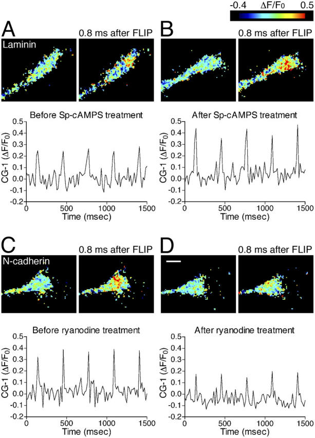 Pharmacological dissection of different components of Ca 2 + signals induced by NP-EGTA photolysis. (A and B) Sp-cAMPS augments FLIP-induced Ca 2+ signals in a chick DRG growth cone on laminin. Before and after a 5-min treatment with Sp-cAMPS (A and B, respectively), the Ca 2+ signals were analyzed in the same growth cone under the same FLIP conditions. CG-1 fluorescence was imaged at the exposure of 15.7 ms. The pseudocolor images show ΔF/F 0 immediately before or 0.8 ms after single FLIP. The ΔF/F 0 values were averaged within a 2-μm-diam zone centered by the FLIP site and plotted as a function of time. The graphs show five Ca 2+ elevations (ΔF/F 0 spikes) induced by five laser pulses at 300-ms intervals. Note that the amplitude of the Ca 2+ signals is augmented by the Sp-cAMPS treatment (compare A and B). (C and D) A high dose of ryanodine attenuates FLIP-induced Ca 2+ signals in a growth cone on N-cadherin. The amplitude of Ca 2+ signals was analyzed in the same growth cone before and after a 5-min treatment with 100 μM ryanodine (C and D, respectively), using experimental methods described in A and B. Bar, 5 μm.