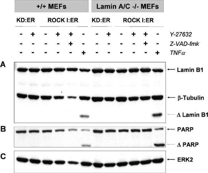 ROCK I does not activate caspases. Wild-type and lamin A/C null MEFs expressing ROCK I:ER or kinase dead KD:ER were left untreated or treated with 1 μM 4-HT, either in the absence or presence of z-VAD-fmk as indicated. As a positive control for caspase activation, cells were treated with 25 ng/ml TNFα plus 10 μg/ml CHX. Western blotting revealed that 4-HT treatment of KD:ER- or ROCK I:ER-expressing wild-type and lamin A/C null fibroblasts did not induce cleavage of lamin B1 (A) or PARP (B) although each was cleaved in response to TNFα treatment. (C) Western blotting for ERK2 reflects protein levels across samples.