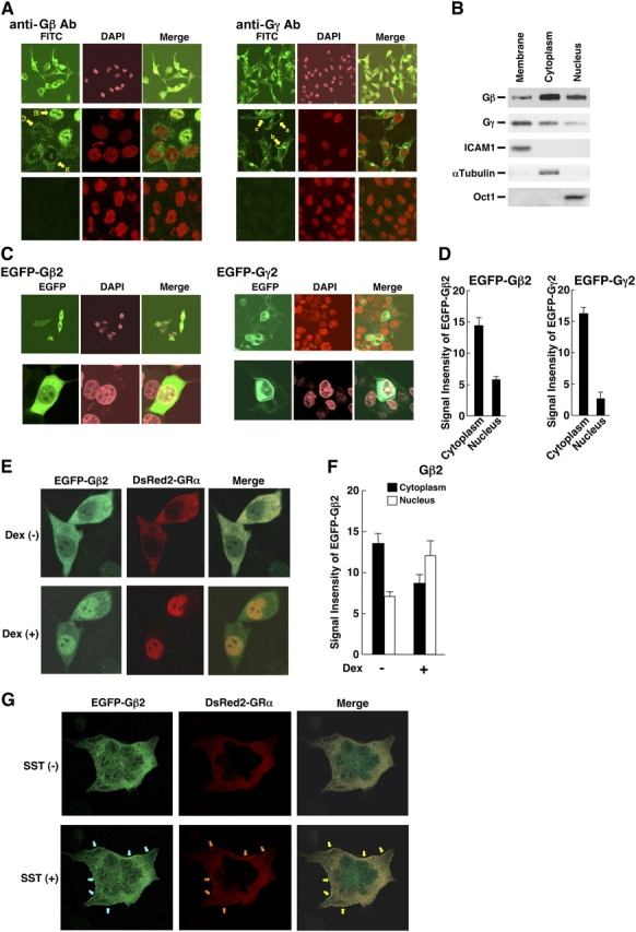 "Subcellular localization of Gβ2 and Gγ2 in HCT116 cells. (A) Endogenous Gβ and Gγ are visualized in the nucleus as well as in the cytoplasm/plasma membrane in HCT116 cells. Endogenous Gβ (left, top two panels) and Gγ (right, top two panels) were visualized by treatment with anti-Gβ or -Gγ2 antibodies, and FITC-labeled secondary antibody, and their confocal images were obtained. Nuclei were also stained with DAPI. Co-treatment of the samples with blocking peptides for anti-Gβ (left, bottom) or anti-Gγ2 (right, bottom) antibodies abolished their specific staining. Cells, expressing Gβ or Gγ exclusively in the cytoplasm, are indicated as ""ℵ"" and ""a"", respectively, whereas cells retaining these molecules weakly or strongly in the nucleus are indicated as ""ℑ"" and ""b"", and ""ℜ"" and ""c"", respectively. (B) Endogenous Gβ and Gγ are detected in the nuclear fraction as well as in the cytoplasm and membrane fractions in HCT116 cells. HCT116 cells were lysed and their subcellular fractions were separated by centrifugation. 0.1 μg of protein of indicated subcellular fractions was run on SDS-PAGE gels, blotted to the nitrocellulose membranes, and Gβ and Gγ were visualized with their specific antibodies by reprobing the same membrane. Intracellular adhesion molecule 1 (ICAM1), α-tubulin, and Oct1, detected also by reprobing the same membrane with their specific antibodies, were respectively shown as positive controls for the membrane, cytoplasmic and nuclear fractions to indicate that the subcellular fractionation did not produce cross-contamination. (C and D) EGFP-Gβ2 was localized in the nucleus in addition to the cytoplasm, whereas EGFP-Gγ2 was detected in the nucleus and the cytoplasm, and at the plasma membrane in HCT116 cells. HCT116 cells were transfected with pEGFP-C-1-Gβ2 or -Gγ2, and the cells were fixed and their confocal images were obtained. Nuclei were also stained with DAPI. Representative images of EGFP-Gβ2 and -Gγ2 are respectively shown in C, whereas mean ± SEM values of their signal intensities in the nucleus and the cytoplasm obtained from over 20 cells are shown in D. (E and F) EGFP-Gβ2 translocated into the nucleus with DsRed2-GR in response to 10 −6 M of dexamethasone in HCT116 cells. HCT116 cells were transfected with pEGFP-C1-Gβ2 and pDsRed2-GRα. Confocal images of EGFP-Gβ2 and DsRed2-GR were obtained before and 30 min after the treatment with 10 −6 M of dexamethasone. Representative images are shown in D, whereas mean ± SEM values of signal intensities in the nucleus (black bars) and the cytoplasm (white bars) obtained from over 20 cells is shown in E. (G) EGFP-Gβ2 and DsRed2-GR are colocalized at the plasma membrane in response to somatostatin in HCT116 cells. HCT116 cells were transfected with pEGFP-C1-Gβ2, pDSRed2-GRα, and Gγ2- and SSTR2-expressing plasmids. Confocal images of EGFP-Gβ2 and DsRed2-GR were obtained before and 30 min after the treatment with 100 nM of somatostatin. Blue and orange arrows indicate signals of EGFP-Gβ2, DsRed2-GR, which are localized at the plasma membrane, whereas yellow arrows indicate their colocalization."