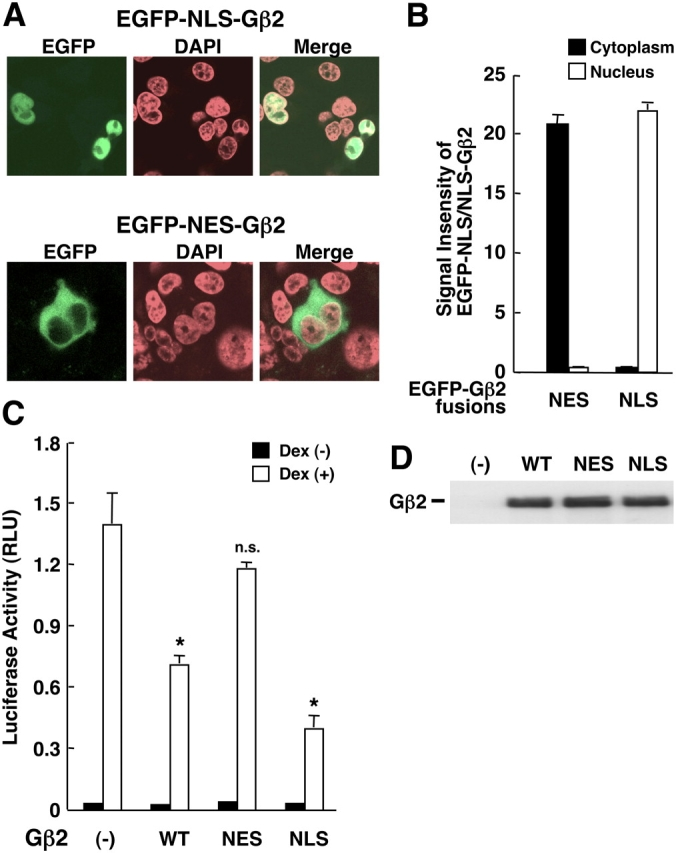 Forced cytoplasmic localization of Gβ2 attenuates the suppressive effect of the wild-type Gβ on GR-induced transactivation, whereas forced nuclear localization enhances it. (A and B) EGFP-fused NES-Gβ2 and NLS-Gβ2 are exclusively localized in the cytoplasm and the nucleus, respectively, in HCT116 cells. HCT116 cells were transfected with pEGFP-C1-NES-Gβ2- or pEGFP-C1-NLS-Gβ2-expressing plasmid. The cells were fixed and their confocal images were obtained. Representative images are shown in A, whereas mean ± SEM values of signal intensities in the nucleus (black bars) and the cytoplasm (white bars) obtained from over 20 cells are shown in B. (C) NES-Gβ2 loses the suppressive effect on GR transactivation, whereas NLS-Gβ2 has a stronger inhibitory effect than the wild-type Gβ2 on GR transactivation in HCT116 cells. HCT116 cells were transfected with pCDNA4His/MaxB-NES-Gβ2- or -NLS-Gβ2 together with pRShGRα, pMMTV-Luc, and pSV40-β-Gal. Bars represent mean ± SEM values of the luciferase activity normalized for β-galactosidase activity in the absence or presence of 10 −6 M of dexamethasone. (*), P