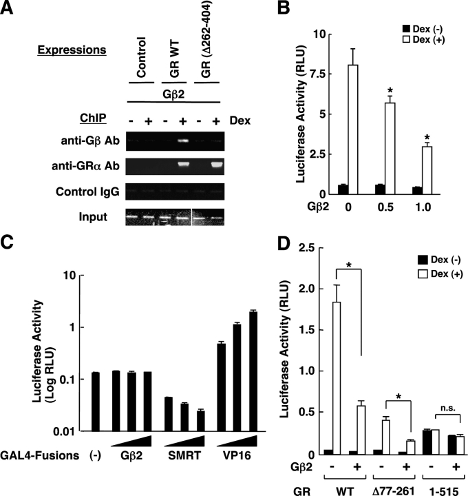 Gβ2 is attracted to GREs and directly suppresses GR-induced transactivation by inhibiting its AF-2 function. (A) Gβ2 was attracted to the chromatin-integrated MMTV GREs via interaction with GR in COS7 cells. COS7 cells, which have genomically integrated MMTV-Luc, were transfected with Gβ2-expressing plasmid and pRShGRα or pRShGRα(Δ262-404). 24 h after addition of 10 −6 M of dexamethasone, the cells were fixed and the ChIP reaction was performed with anti-Gβ or control antibodies. The portion of the MMTV promoter that contains two GREs was amplified by PCR with a specific primer pair. Two images obtained from separate gels were combined to produce the Input gel image. (B) Gβ2 suppresses the transcriptional activity of GR on the chromatin-integrated MMTV promoter in COS7 cells. COS7 cells with genomically integrated MMTV-Luc, were transfected with the indicated amounts of the Gβ2-expressing plasmid, together with pRShGRα and pSV40-β-Gal. Bars represent mean ± SEM values of the luciferase activity normalized for β-galactosidase activity in the absence or presence of 10 −6 M of dexamethasone. (*), P