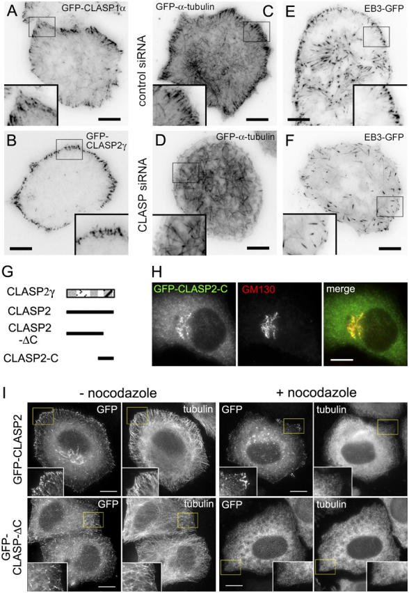 The COOH-terminal domain of CLASP2 is responsible for association with the cell cortex and Golgi complex. (A–F) TIRF microscopy images of live HeLa cells, expressing GFP-CLASP1α (A), GFP-CLASP2γ (B), GFP-α-tubulin (C and D), or EB3-GFP (E and F). Cells were either not treated with siRNAs (A and B), or treated for 72 h with control (C and E) or CLASP1+2#B siRNAs (D and F). The contrast is inverted. Bars, 10 μm. (G) Schematic representation of CLASP2γ and the relevant deletion mutants. (H) HeLa cells were transfected with GFP-CLASP2-C and stained for the Golgi marker GM130. Bar, 10 μm. (I) HeLa cells were transfected with GFP-CLASP2 or GFP-CLASP2-ΔC and were either fixed directly or treated with 10 μM nocodazole for 1 h before fixation and stained for α-tubulin. Bars, 10 μm.