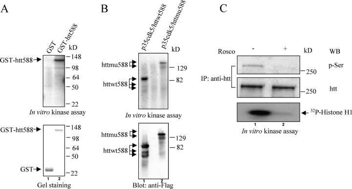 Cdk5 phosphorylates htt in vitro and in vivo. (A) GST and GST-tagged htt1-588 (GST-htt588) (wild-type) were purified from E. coli . Both proteins were phosphorylated by 0.1 μg of p35–cdk5 complexes. Top panel shows phosphorylated GST (lane 1) and GST-htt588 (lane 2). Bottom panel shows purified GST (lane 1) and GST-htt588 (lane 2). (B) p35–cdk5 was cotransfected to COS-7 cells. We immunoprecipitated p35–cdk5 with anti-cdk5. Httwt588 or httmu588 were pulled down with anti-Flag from distinct COS-7 cells transfected with these constructs. The figure shows in vitro kinase assays (top) and anti-Flag blot (bottom) from p35–cdk5 incubated with httwt588 and γ-[ 32 P]ATP (lane 1) and p35–cdk5 incubated with httmu588 and γ-[ 32 P]ATP (lane 2). The mixtures were resolved with 10% SDS-PAGE, and then transferred to PVDF membrane and subjected to autoradiography (top). The PVDF membrane was blotted with anti-Flag (bottom). (C) PC-12 cells were starved for 24 h, and then induced to differentiate with 100 ng/ml NGF for 48 h. Cells were treated with 20 μM of the cdk5 inhibitor roscovitine (Rosco) or DMSO (control) when cells were induced to differentiate with NGF. After 48 h of treatment, PC-12 cells were lysed in buffer A containing phosphatase inhibitors. Htt was immunoprecipitated with anti-htt antibody, 2166, and then detected with the antiphosphoserine antibody 16B4 (top) and anti-htt (middle). p35–cdk5 complex was pulled down from the differentiated PC-12 cells and an in vitro kinase assay was performed in the presence of DMSO (lane 1) or roscovitine (lane 2) using histone H1 as a substrate (bottom).