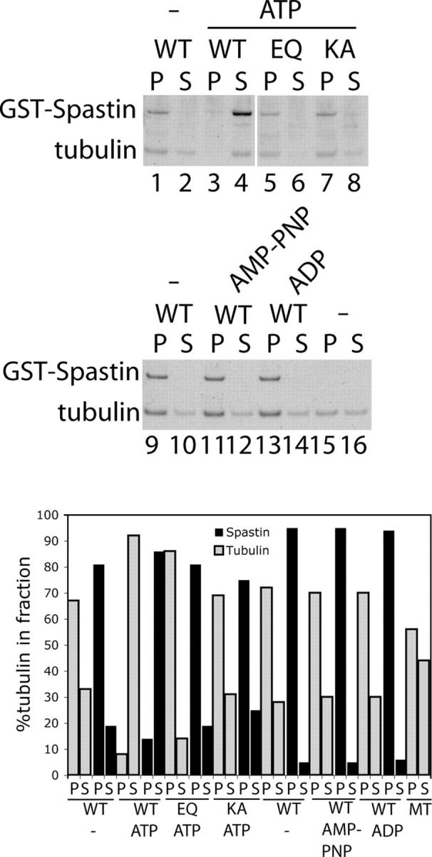 Spastin is sufficient for severing MTs. Taxol-stabilized MTs were assembled from purified tubulin GTP and taxol and incubated with recombinant Spastin and nucleotides as indicated in the figure. After 10 min at 37°C, microtubules were separated from tubulin dimer by ultracentrifugation. In the absence of ATP, WT GST-Spastin sediments with microtubules (lanes 1 and 9), indicating direct binding. In contrast, with ATP, most of the tubulin was recovered in the supernatant fraction (lane 4), indicating that severing occurred. Note that Spastin does not sediment nonspecifically (lane 4). E442Q and K388A mutant Spastin sediment with microtubules but do not sever even in the presence of ATP (lanes 5 and 7). These results suggest that ATP hydrolysis is required for severing. Neither AMP-PNP nor ADP could substitute for ATP (lanes 11 and 13). The two panels represent separate experiments. (top gel) White line indicates that intervening lanes have been spliced out. Quantitation of the data from the gels is shown in the bar graph.