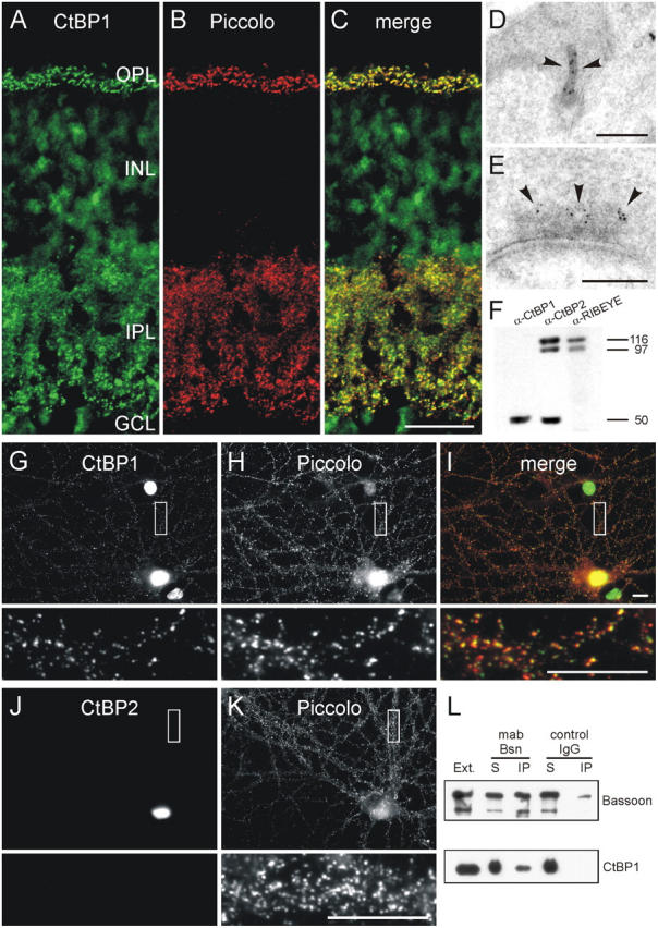 CtBP1, a RIBEYE homologue, is expressed at ribbon and conventional synapses. (A–C) Confocal laser-scanning micrographs of a vertical section through mouse retina double labeled for CtBP1 (A) and Piccolo (B), which marks ribbon and conventional synapses in the retina. As seen in the merge of the two stainings (C), CtBP1 and Piccolo immunoreactivities completely colocalize at the synapses in the outer plexiform layer (OPL) and inner plexiform layer (IPL) of the retina. (D and E) Electron micrographs of a photoreceptor (D) and an amacrine cell synapse (E) immunogold labeled for CtBP1. At the ribbon synapse the gold particles for CtBP1 decorate the ribbon (arrowheads), at the amacrine cell synapse they are located some distance from the active zone (arrowheads) at the edge of the electron-dense CAZ material. (F) Western blots of retina homogenate probed with antibodies against CtBP1 and the RIBEYE A- and CtBP2/RIBEYE B-domain. The antibody against CtBP1 recognizes the 50-kD CtBP1 protein and does not cross-react with RIBEYE. (G–I) Micrographs of cultured hippocampal neurons double labeled for CtBP1 (G) and Piccolo (H). In hippocampal neurons, like in retinal neurons, a fraction of CtBP1 immunoreactivity is localized at synapses where it colocalizes with Piccolo as seen in the merge of the two stainings (I). (J and K) CtBP2 (J) is not present at hippocampal synapses labeled with Piccolo (K). (L) Immunoblots showing that CtBP1 can be coimmunoprecipitated from brain synaptosomes with a monoclonal anti-Bassoon antibody. The boxes in G–K mark the regions that are shown at higher magnification. INL, inner nuclear layer; GCL, ganglion cell layer; Ext., brain synaptosomal extract; IP, immunoprecipitate; S, supernatant. Bars: 20 μm (A–C), 0.2 μm (D and E), and 10 μm (G–K).