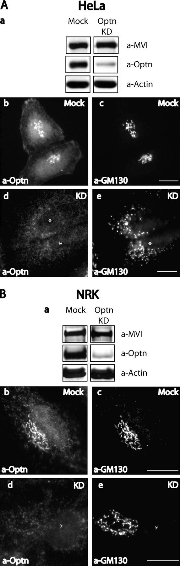 Optineurin is depleted from NRK and HeLa cells using siRNA. HeLa (A) or NRK (B) cells were either mock transfected with water or transfected twice at 48-h intervals with siRNA specific to optineurin. After 4 d cells were blotted and probed with antibodies to myosin VI, optineurin, or actin (A, a and B, a). In a parallel experiment mock-transfected, siRNA-transfected NRK, or HeLa cells were used for immunofluorescence and double labeled with antibodies to optineurin (A, b and d; B, b and d) and GM130 (A, c and e; B, c and e). Bars, 10 μm.