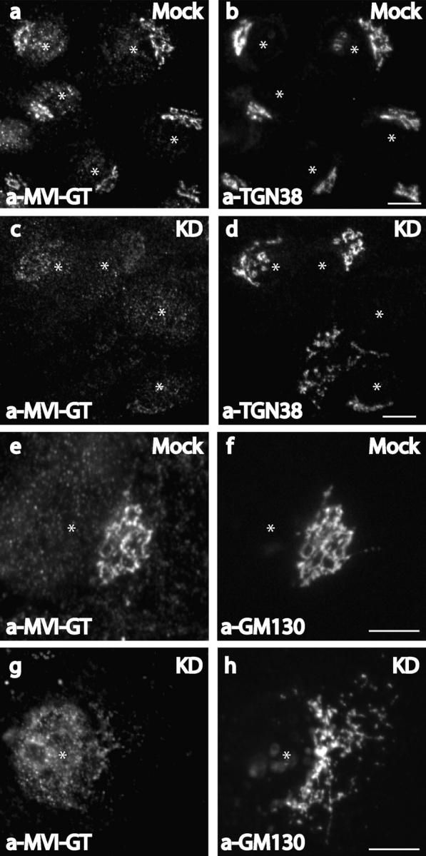 Knockdown of optineurin in NRK cells causes loss of myosin VI from the Golgi complex. Mock-transfected (a, b, e, and f) or siRNA-transfected (c, d, g, and h) NRK cells were used for immunofluorescence and were double labeled with antibodies to the globular tail of myosin VI (a, c, e, and g) and antibodies to TGN38 (b and d) or GM130 (f and h). Asterisks mark the position of the nucleus. Bars, 10 μm.