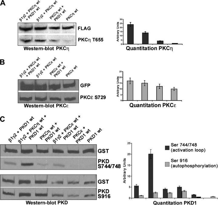 Activation of PKC η by β 1 γ 2, and subsequent hyper phosphorylation of PKD in the activation loop. HeLa cells were cotransfected with the constructs listed. The cells were lysed and the extracts analyzed by Western blotting to monitor the phosphorylation status of FLAG-PKCη, GFP-PKCɛ, and GST-PKD, respectively. The blots were quantitated as described in Materials and methods. (A) For PKCη, the antibody used recognizes threonine 655 (T655). (B) Similar experimental procedure was used to monitor the effect of β1γ2 expression on the phosphorylation status of PKCɛ phosphorylation (Ser729). (C) Coexpression of β1γ2 and PKCη caused a fourfold increase in the phosphorylation of Ser744/748 (in the activation loop) of PKD without any appreciable change in the autophosphorylation of Ser916 (lane 2, shown in the Western blot and the bar graph). Values are means (±SD, vertical bars) of three separate experiments.