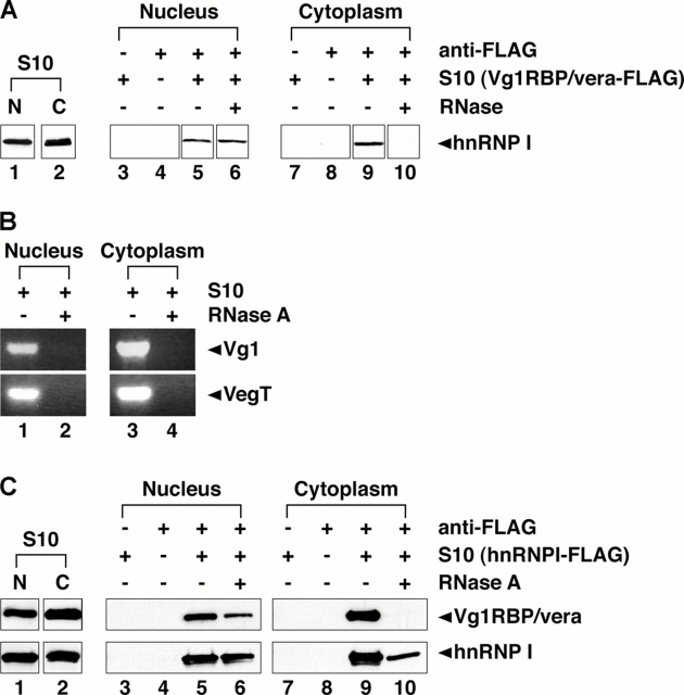 Vg1RBP/vera and hnRNP I interact in both the nucleus and cytoplasm. (A) Vg1RBP/vera-FLAG was expressed in stage III/IV oocytes, and nuclear (lanes 1 and 3–6) or cytoplasmic (lanes 2 and 7–10) lysates were prepared. Immunoprecipitations were performed using Sepharose beads plus Vg1RBP/vera S10 lysates (lanes 3 and 7), anti-FLAG beads alone (lanes 4 and 8), anti-FLAG beads with Vg1RBP/vera-FLAG, and nuclear (lanes 5 and 6) or cytoplasmic (lanes 9 and 10) S10 lysate in the presence (lanes 6 and 10) or absence (lanes 5 and 9) of RNase A. Total (lanes 1 and 2) and bound (lanes 3–10) proteins were separated by 10% SDS-PAGE and immunoblotted with anti-hnRNP I. All samples were run on the same gel, but lane order was changed for presentation in the figure, with adjacent lanes boxed together. (B) Nuclear (lanes 1 and 2) and cytoplasmic (lanes 3 and 4) S10 lysates were prepared and were subjected to digestion with RNase A (lanes 2 and 4) or mock digestion (lanes 1 and 3). Vg1 (top) and VegT (bottom) RNAs present in the lysates were detected by RT-PCR. All samples were run on the same gel; adjacent lanes are grouped together. (C) Nuclear (lanes 1 and 3–6) and cytoplasmic (lanes 2 and 7–10) lysates were prepared from oocytes expressing hnRNP I-FLAG. Immunoprecipitations were performed using Sepharose beads plus lysate (lanes 3 and 7), anti-FLAG beads alone (lanes 4 and 8), and anti-FLAG beads and nuclear (lanes 5 and 6) or cytoplasmic (lanes 9 and 10) S10 lysate either with (lanes 6 and 10) or without (lanes 5 and 9) RNase A treatment. Total (lanes 1 and 2) and bound (lanes 3–10) proteins were separated by SDS-PAGE. Bound Vg1RBP/vera was detected by immunoblot with anti-Vg1RBP/vera (top panels), and immunoprecipitated hnRNP I was detected by immunoblot with anti-hnRNP I (bottom panels). All samples were run on the same gel, but lane order was changed for presentation in the figure, with adjacent lanes boxed together.