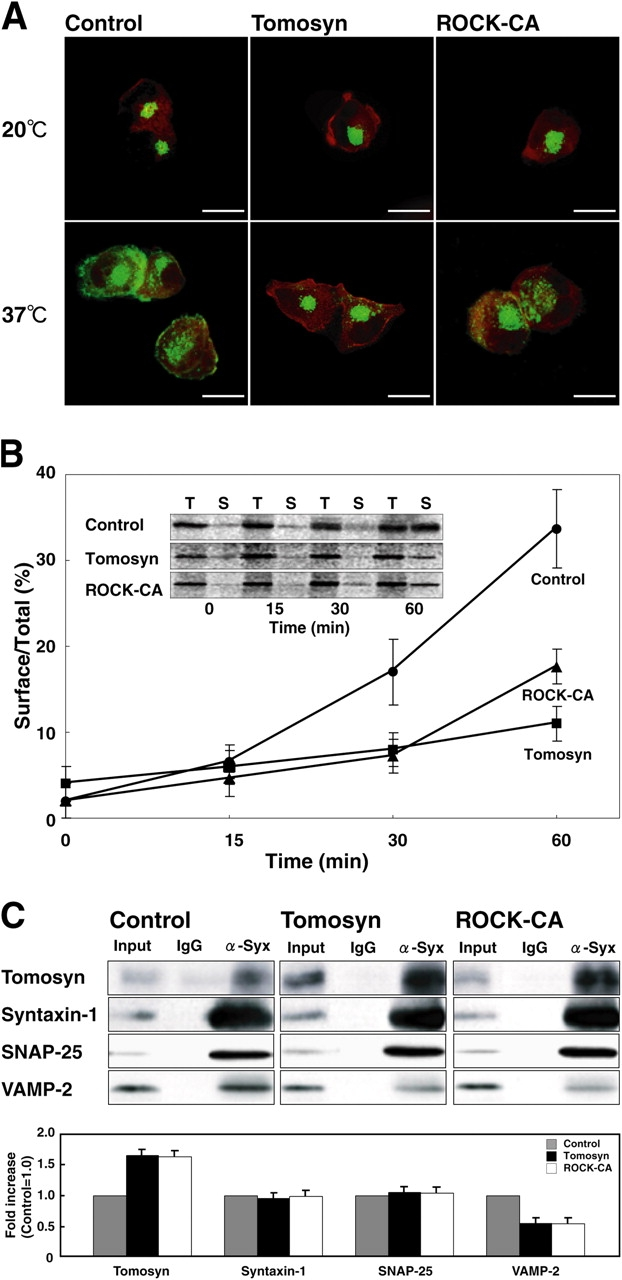 Inhibition of vesicle transport by tomosyn and ROCK. (A) Transport of VSV-G in NG108 cells. NG108 cells were cotransfected with GFP-VSV-G and either HA-tomosyn, myc-ROCK-Δ3 (ROCK-CA), or a null HA plasmid (Control). At 4 h after the transfection, the cells were incubated at 20°C for 2 h. Parallel samples were transferred to 37°C immediately after the 20°C incubation. The cotransfected cells were identified by the expression of GFP (green) and either immunostaining of HA or myc (red), and the distributions of GFP-VSV-G were examined. Bars, 20 μm. (B) Kinetics of VSV-G cell surface transport in NG108 cells. NG108 cells were cotransfected with VSV-G and either HA-tomosyn, myc-ROCK-Δ3 (ROCK-CA), or a null HA plasmid (Control). At 4 h after the transfection, the cells were labeled with [ 35 S]methionine and were incubated for indicated periods of time. To detect cell surface VSV-G, the cell surface was biotinylated. After the biotinylation, the cells were lysed and total VSV-G was collected by immunoprecipitation with the anti-VSV-G mAb. Cell surface–biotinylated VSV-G was recovered with streptavidin-agarose beads from total VSV-G. Biotinylated (S: surface) and total (T: 20% of total) VSV-G were separated by SDS-PAGE and the intensity of each band was quantified. (C) Quantification of the formation of SNARE and tomosyn complexes in NG108 cells. NG108 cells were transfected with HA-tomosyn, myc-ROCK-Δ3 (ROCK-CA), or a null HA plasmid (Control), cultured in DME containing 1 mM db-cAMP for 48 h, and allowed to extend neurites. Cells were lysed and immunoprecipitated with the anti-syntaxin-1 mAb or the control mouse IgG, followed by immunoblotting with the indicated antibodies. The quantification of immunoblot is shown on the bottom.