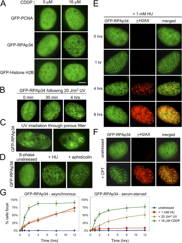Visualization of replication factors in the DNA damage response. (A) CDDP induces the relocalization of GFP-PCNA and GFP-RPAp34, but not GFP-histone H2B, into discrete foci within the nucleus of stably expressing Rat-1 cells. Bar, 5 μm. (B) RPAp34 rapidly accumulates into foci in response to UV irradiation. (C) Cells expressing GFP-RPAp34 were exposed to UV irradiation through a porous polycarbonate filter. GFP-RPAp34 only accumulates into foci within the irradiated microdomains 3 μm in diameter. (D) RPAp34 accumulates into foci in response to the stalling of DNA replication with HU or APH. (E) RPAp34 foci appear before the accumulation of H2AX phosphorylation after HU treatment. (F) Camptothecin (CPT) induces the formation of RPAp34 foci that colocalize with γ-H2AX foci. (G) Quantitation of the number of cells with punctate versus diffuse localization of GFP-RPAp34 in asynchronous (left) or serum-starved (right) cultures after various stresses over time. 200 cells were counted at each time point from each of three independent experiments. After 48 h serum-starvation, 4% of the unstressed cells labeled BrdU positive during the 12-h time course of the experiment.
