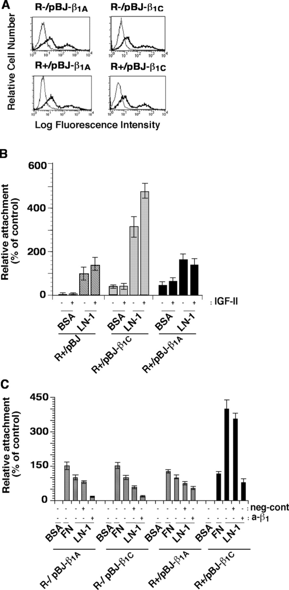 IGF-IR and β 1C act synergistically to support cell adhesion to LN-1. (A) R− and R+ cells were transiently transfected with human β 1A or β 1C . Surface expression of β 1A or β 1C was analyzed by FACS ® using TS2/16 or 12CA5 as a negative control. Thick line, TS2/16; thin line, 12CA5. (B) R+ cells transiently transfected with β 1A or β 1C were detached and seeded on BSA or LN-1–coated plates at 37°C for 2 h in the presence or in the absence of IGF-II and stained with β-gal. (C) R− and R+ cells (10 6 ) transiently transfected with β 1A or β 1C were incubated with or without P4C10 (a-β 1 ) or 1C10 (neg-cont) on ice for 1 h. Cells were plated on BSA or LN-1 or FN at 37°C for 2 h and stained with β-gal. Attachment of cells transfected with β 1 -integrin cDNA was expressed as percentage of cells transfected with pBJ (B) or pBJ-β 1A (C) that were attached to LN-1, set at 100. The experiments were repeated at least twice with similar results. Data are expressed as mean ± SEM.