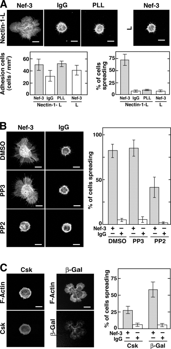 Inhibition by PP2 and Csk of the nectin-induced formation of filopodia and lamellipodia in nectin-1-L cells. (A) Nectin-induced formation of filopodia and lamellipodia. Nectin-1-L or wild-type L cells were cultured on the Nef-3–, IgG-, or PLL-coated coverslips for 30 min and stained for F-actin with rhodamine-phalloidin. Bars in the quantitative analysis represent the number of cells attached on the coverslips per millimeter squared and the percentage of cells with filopodia and/or lamellipodia of the total cells counted ( n = 50) and are expressed as means ± SEMs of the three independent experiments. (B) Inhibitory effect of PP2. Nectin-1-L cells were cultured on the Nef-3– or IgG-coated coverslips in the presence of PP2, PP3, or DMSO for 30 min and stained with rhodamine-phalloidin. (C) Inhibitory effect of Csk. Nectin-1-L cells infected with Av1CATcsk or Av1CATlacZ were cultured on the Nef-3–coated coverslips for 30 min and stained with rhodamine-phalloidin and the anti-Csk or the anti–β-galactosidase mAbs, respectively. β-Gal, β-galactosidase. Bars in the quantitative analysis of B and C represent the percentage of cells with filopodia and/or lamellipodia of the total cells counted ( n = 50) and are expressed as means ± SEMs of three independent experiments. Bars, 10 μm.