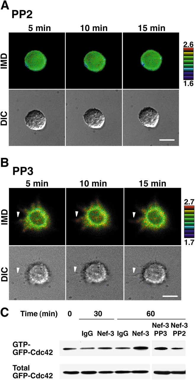 Inhibition by PP2 of the nectin-induced activation of Cdc42 in nectin-1-L cells. (A and B) FRET imaging. Nectin-1-L cells expressing Raichu-Cdc42 were cultured on the Nef-3–coated dishes in the presence of PP2 (A) or PP3 (B) for 1 h, and FRET imaging was obtained at indicated periods of time. The upper and lower limits of the YFP/CFP ratio range are shown. Arrowheads indicate the position of filopodia. Bars, 10 μm. The results shown are representative of ten independent experiments. (C) Pull-down assay. Nectin-1-L cells expressing c-Src and GFP-Cdc42 were cultured with clustered Nef-3 or IgG in the presence or absence of PP2 or PP3 for indicated periods of time and then subjected to the pull-down assay. The results shown are representative of three independent experiments.