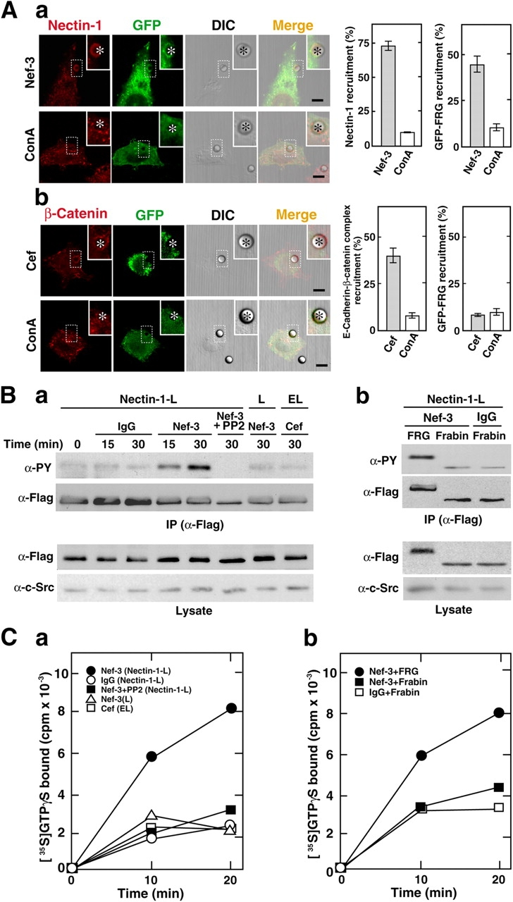 Nectin-induced, c-Src– mediated activation of FRG. (A) Recruitment of FRG to the contact sites between the Nef-3–coated beads and nectin-1-L cells. Nectin-1-L or EL cells transiently overexpressing GFP-FRG were incubated with the Nef-3–, ConA-, or Cef-coated beads for 1 h and stained with the anti–nectin-1 pAb. The signal for E-cadherin–β-catenin complex was detected by the anti–β-catenin mAb. (a) Nectin-1-L cells; (b) EL cells. Bars, 10 μm. Positions of the beads are marked with asterisks. The inset indicates the magnified image of the boxed area. Bars in the quantitative analysis of panels a and b represent the percentage of the bead–cell contact sites with the signal for nectin-1 or E-cadherin of the total bead–cell contact sites counted ( n = 50) or the percentage of the bead–cell contact sites with the signal for GFP of the bead–cell contact sites with the signal for nectin-1 or E-cadherin counted ( n = 50) and are expressed as means ± SEMs of the three independent experiments. (B) Nectin-induced tyrosine phosphorylation of FRG. (a) Wild-type L, nectin-1-L, or EL cells transiently overexpressing Flag-FRG and c-Src were treated with clustered Nef-3 or IgG in the presence or absence of PP2 for indicated periods of time. (b) Nectin-1-L cells transiently overexpressing c-Src and Flag-FRG or Flag-frabin were treated with clustered Nef-3 or IgG for 30 min. Each cell lysate was subjected to the immunoprecipitation assay with the anti-Flag mAb, followed by Western blotting with the anti-phosphotyrosine, anti-Flag, and anti–v-Src mAbs. (C) GEF activity of FRG or frabin on Cdc42. The binding of [ 35 S]GTPγS to Cdc42 was assayed by incubation with the immunoprecipitant prepared in B for indicated periods of time. The results shown are representative of three independent experiments.