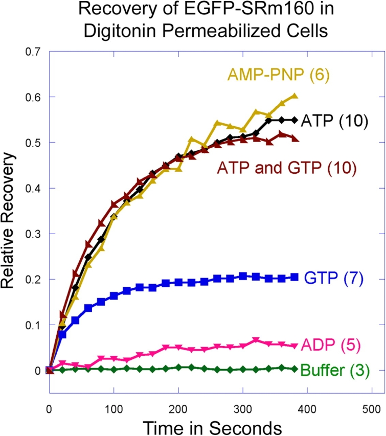The nucleotide specificity of EGFP-SRm160 mobility in digitonin-permeabilized cells. HeLa cells stably expressing EGFP-SRm160 were permeabilized with digitonin. Before photobleaching, either buffer alone, 5 mM ADP, ATP, GTP, or AMP-PNP, or a combination of ATP and GTP (5 mM each) were added. Each point represents the mean for the number of photobleached cells indicated in parentheses to the right of the curve.