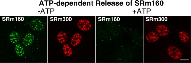 The release of endogenous SRm160 from Triton X-100–permeabilized cells is ATP dependent. HeLa cells were permeabilized in 0.5% Triton X-100 in the presence of 20 mM ATP (+ATP) or without ATP (−ATP). SRm160 and SRm300 were detected by immunofluorescent staining using the mAbs B1C8 and B4A11, respectively. In the presence of ATP, the large majority of SRm160 is released during the permeabilization, whereas most SRm300 is retained. Projections of confocal data stacks are shown. Images were collected using identical machine settings so that the images could be compared quantitatively. Bar, 10 μm.