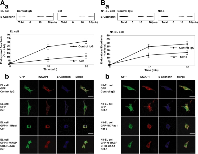Inhibition of the endocytosis of E-cadherin by trans-interacting E-cadherin or trans-interacting nectin-1 in intact cells. (A) Inhibition of the constitutive endocytosis of E-cadherin by trans-interacting E-cadherin in intact EL cells. (Aa) EL cells were incubated in the medium with 400 nM Cef or 400 nM human IgG (control IgG) for 60 min. The cells were surface-biotinylated on ice and cultured at 18°C for the indicated periods of time to allow the endocytosis of E-cadherin. Biotinylated proteins on the plasma membrane were then stripped off by glutathione treatment, and biotinylated proteins inside the cells were recovered on streptavidin beads. The bound proteins were analyzed by immunoblotting with the anti-E-cadherin mAb. The relative amounts of endocytosed E-cadherin were expressed as percentage of total biotinylated E-cadherin in the bottom panel. The mean ± SD of duplicate assays is shown. (Ab) EL cells pretreated with the 400 nM Cef or 400 nM control IgG were incubated at 18°C for 20 min to allow the endocytosis of E-cadherin. EL cells overexpressing GFP, GFP-N17Rac1, or GFP-N-WASP-CRIB-CAAX were pretreated with the 400 nM Cef or 400 nM control IgG and then incubated at 18°C for 20 min to allow the endocytosis of E-cadherin. The cells were then fixed and immunostained with the anti–E-cadherin mAb and the anti-IQGAP1 pAb. Bars, 10 μm. (B) Inhibition of the constitutive endocytosis of E-cadherin by trans-interacting nectin-1 in intact nectin-1-EL cells. (Ba) Nectin-1-EL (N1-EL) cells were incubated in the medium with 400 nM Nef-3 or 400 nM control IgG for 60 min. The cells were surface-biotinylated on ice and cultured at 18°C for the indicated time to allow the endocytosis of E-cadherin. Biotinylated proteins on the plasma membranes were then stripped off by glutathione treatment, and biotinylated proteins inside the cells were recovered on streptavidin beads. The bound proteins were analyzed by immunoblotting with the anti–E-cadherin mAb. The relative amounts 