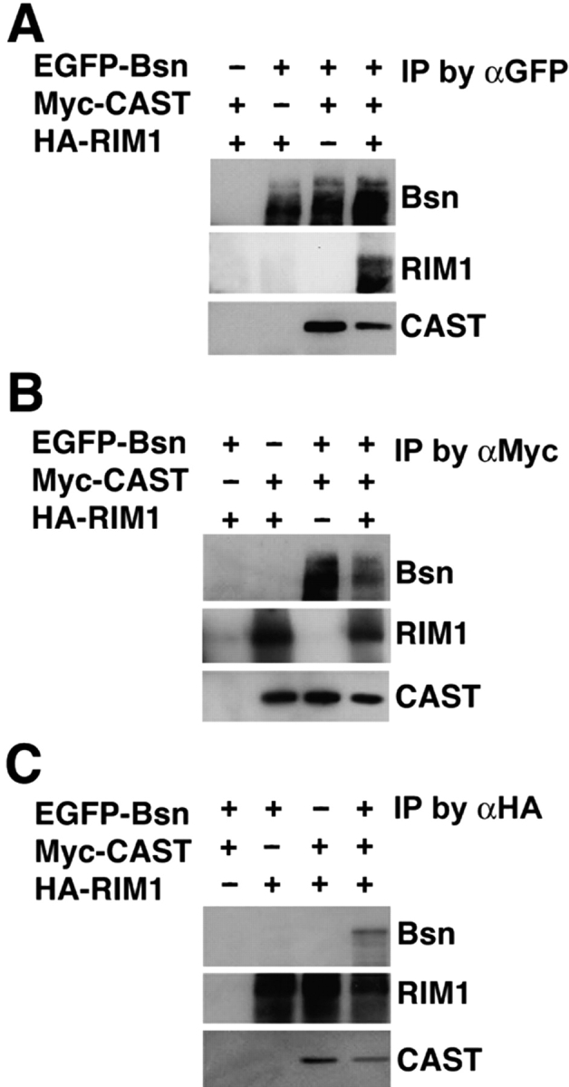 Ternary complex formation of CAST, RIM1 and Bassoon. Each expression plasmid of Myc-CAST, HA-RIM1, or EGFP-Bassoon was transfected into HEK293 cells. Each protein was extracted and mixed in the indicated combinations, followed by immunoprecipitation using the anti-GFP, anti-Myc, or anti-HA Ab. Immunoprecipitates were then analyzed by Western blotting using the indicated Abs. IP, immunoprecipitation. The results are representative of three independent experiments.