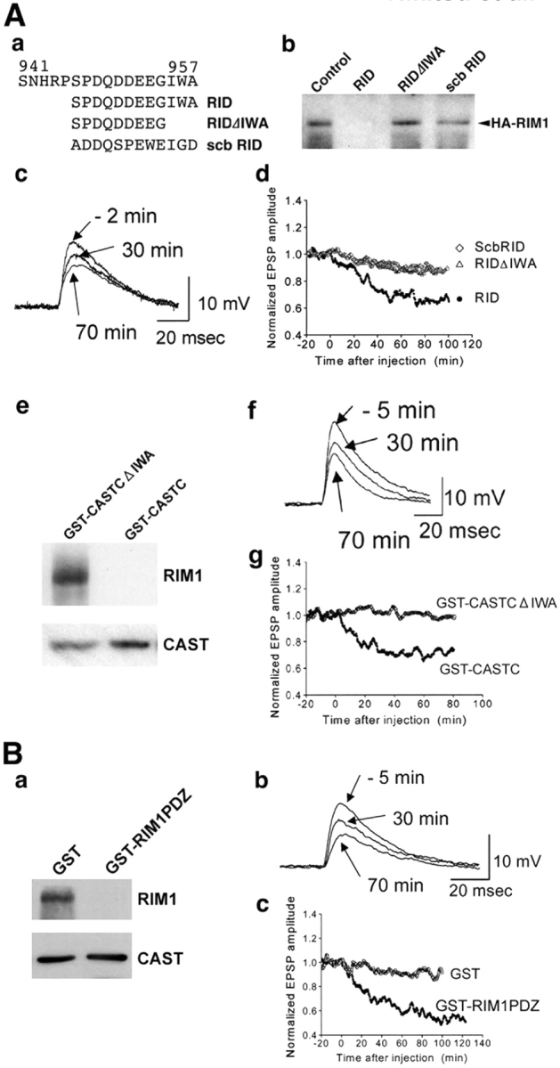 Effect of the binding of CAST and <t>RIM1</t> on synaptic transmission. (A) Effects of the COOH-terminal regions of CAST on synaptic transmission. (a) Sequences of the CAST peptides. RID, RIM1-interacting domain; scb RID, scrambled RID. (b) Effects of the peptides (5 μM each) on the binding of HA-RIM1 to immobilized GST-CAST-4. The binding was inhibited by RID, but not by RIDΔIWA or scb RID. (c and d) Effects of the CAST peptides (1 mM each in the injection pipette) on synaptic transmission. Presynaptic neurons were stimulated every 20 s CAST peptides were introduced into presynaptic neurons at t = 0. EPSPs from representative experiments with the injection are illustrated in c. Normalized and averaged EPSP amplitudes are plotted from five experiments with RID, RIDΔIWA, or scb RID peptide in d. (e) Effects of the COOH-terminal regions of CAST (5 μM each) on the binding of CAST and RIM1. Immunoprecipitation assays of Myc-CAST and HA-RIM1 were performed in the presence of GST-CASTCΔIWA or GST-CASTC, followed by Western blotting using the anti-Myc and anti-HA Abs. GST-CASTC inhibited the binding but GST-CASTCΔIWA did not. (f and g) Effects of the recombinant CAST proteins (150 μM each in the injection) on synaptic transmission. Presynaptic neurons were stimulated every 20 s. Recombinant CAST proteins were introduced into presynaptic neurons at t = 0. Normalized and averaged EPSP amplitudes are plotted from five experiments with GST-CASTC or GST-CASTCΔIWA in f. (B) Effect of the PDZ domain of RIM1 on synaptic transmission. (a) Effect of the GST fusion protein containing the PDZ domain on the binding of CAST and RIM1. Immunoprecipitation assays of Myc-CAST and HA-RIM1 were performed in the presence of GST alone or GST-RIM1 PDZ (5 μM each), followed by Western blotting using the anti-Myc and anti-HA Abs. GST-RIM1 PDZ inhibited the binding but GST alone did not. (b and c) Effect of GST-RIM1 PDZ on synaptic transmission. Presynaptic neurons were stimulated every 20 s GST al