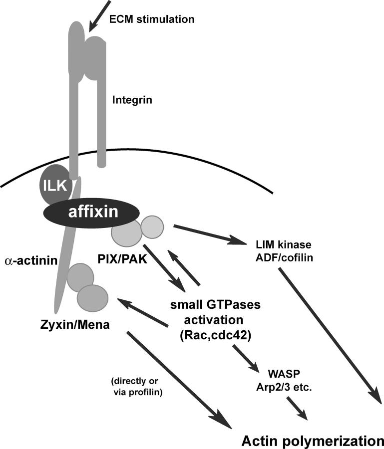 Schematic illustration of the role of affixin. The integrin–ECM interaction acutely activates ILK, which is considered to induce phosphorylation of the COOH-terminal CH domain of affixin. It triggers the interaction between affixin and α-actinin, which promotes the recruitment of α-actinin into these nascent FAs. Zyxin and its binding partner, Mena, are recruited into FAs by their interaction with α-actinin. On the other hand, the NH 2 -terminal CH domain of affixin is considered to transmit integrin–ILK signals to activate Cdc42/Rac1 through interaction with αPIX, which results in the recruitment of PAK to FAs. Affixin-mediated formation of the signaling complex at nascent FAs should cooperatively promote actin polymerization and lead to cell spreading.