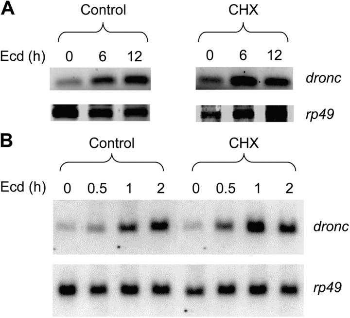 Ecdysone-mediated dronc transcription is partially cycloheximide sensitive. (A) 10 7 l(2)mbn cells were treated with 10 μM ecdysone (Ecd) for the indicated time in the presence or absence (Control) of 10 μg/ml cycloheximide (CHX). RNA extracted from cells was analyzed by RT-PCR. (B) Northern blot analysis was performed on RNA samples from cells treated as in A. Where indicated, cells were treated with cycloheximide (CHX) for 2 h.