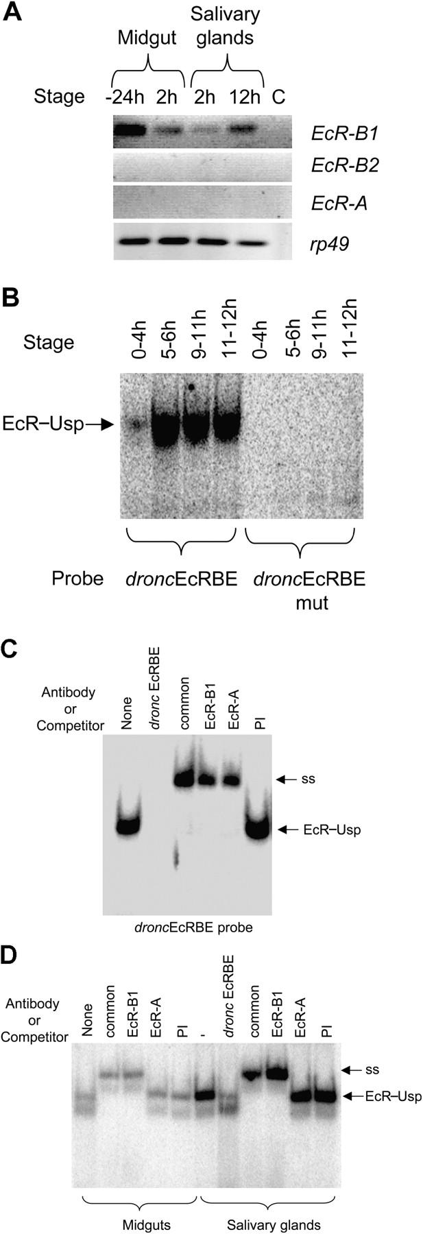 Salivary glands and midgut express EcR-B1, which binds to dronc promoter. (A) Salivary glands and midgut were dissected from animals at −24, 2, or 12 h relative to puparium formation. RNA was analyzed by RT-PCR to detect EcR isoform expression. Rp49 was used as a control. (B) 9 μg of nuclear extracts prepared from various staged animals were incubated with the dronc EcRBE or the EcRBE mutant probe for 20 min. Complexes were analyzed as in Figs. 4 and 5 . EcR–Usp complex and supershift (ss) are indicated. Developmental stages are shown as hours relative to puparium formation. These stages represent early (0–4 h), mid (5–6 h), and late (9–11 h) prepupae and early (11–12 h) pupae. (C) EMSA was performed as in B in the presence of dronc EcRBE cold competitor, 2 μl of EcR common antibody, EcR-B1, or EcR-A. EcR–Usp (EcR) and supershifted EcR–Usp (ss) complexes are indicated. (D) EMSA was performed as in C with 6 μg on nuclear extract from salivary glands or midguts from 12 h (salivary gland) and 2 h (midgut) staged prepupae. EcR–Usp and supershifted (ss) complexes are shown. 40 ng of cold competitor ( dronc EcRBE) was also added where indicated.