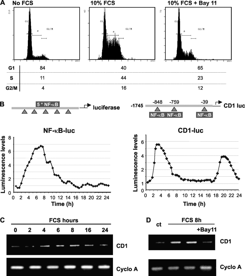 NF-κB dependent transcription is essential for cell cycle progression. (A) Swiss 3T3 fibroblasts were serum starved for 24 h. They were then stimulated with 10% FCS for 18 h in the absence or presence of an NF-κB inhibitor (5 μM Bay117082). Cell cycle stage was determined by flow cytometry analysis of propidium iodide–stained cells. (B) Swiss 3T3 cells were transfected with the indicated reporter vectors (NF-κB luc and −1745 CD1-luc). 24 h after serum starvation, firefly luciferin (Biosynth) was added to the medium (0.5-mM final concentration). 2 h later, serum stimulation was performed and luminescence imaging was carried out using a Hamamatsu 4880-65 liquid nitrogen–cooled CCD camera. Images were acquired using 30-min integration times. (C) RT-PCR analysis was performed using primers specific to CD1 or cyclophilin A (control), with total RNA prepared from cells stimulated with 10% FCS at indicated time points. (D) RT-PCR analysis, with total RNA prepared from nonstimulated starved cells (ct) or cells stimulated 8 h with 10% FCS in the presence or absence of Bay117082.