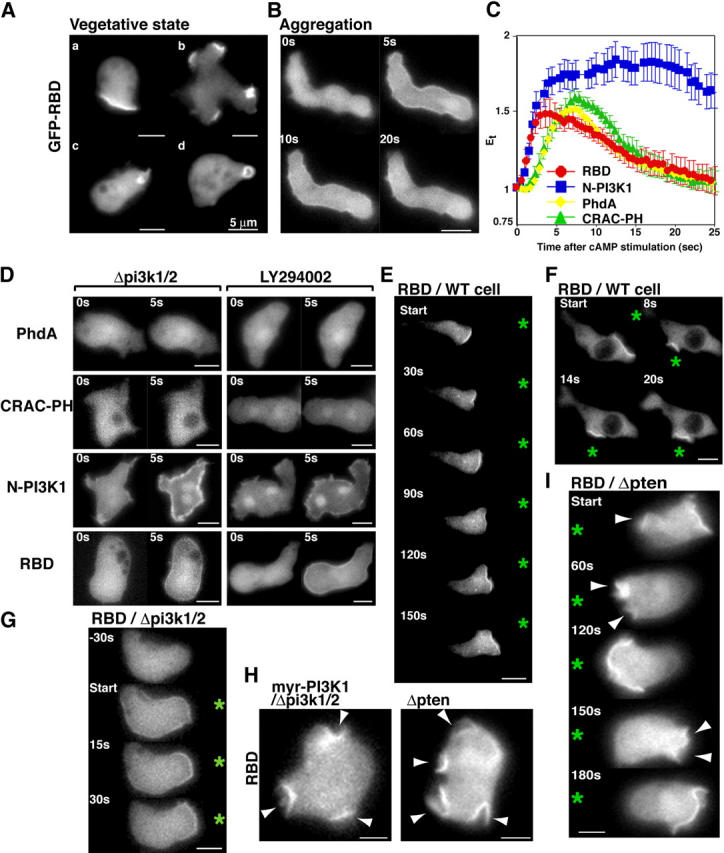 Spatial-temporal activation of Ras during chemotaxis. (A and B) The localization of GFP-RBD in wild-type vegetative cells (A) or aggregation-competent cells (B) was imaged. Translocation of GFP-RBD was imaged after stimulation with cAMP as described previously ( Funamoto et al., 2001 ). (C) Translocation kinetics of GFP-tagged PhdA, CRAC-PH, N-PI3K1, and RBD in wild-type cells were obtained from time-lapse recordings. The graphs represent an average of data of movies taken from at least three separate experiments. The fluorescence intensity of membrane-localized GFP fusion protein was quantitated as E t as defined in Materials and methods. (D) Translocation of indicated GFP proteins in pi3k1/2 null cells or wild-type cells treated with 50 μM LY294002 for 20 min before cAMP stimulation. (E–I) Fluorescent images of GFP-RBD expressing wild-type cells (E and F), pi3k1/2 null cells (G), or pten null and myr-PI3K expressing cells (I) chemotaxing in a gradient of chemoattractant. An asterisk indicates the position of the micropipette. Fluorescent images of GFP-RBD and myr-PI3K1–expressing pi3k1/2 null cells (H, left) or GFP-RBD-expressing pten null cells (H, right) are shown. The sites producing multiple pseudopodia are marked with arrowheads.