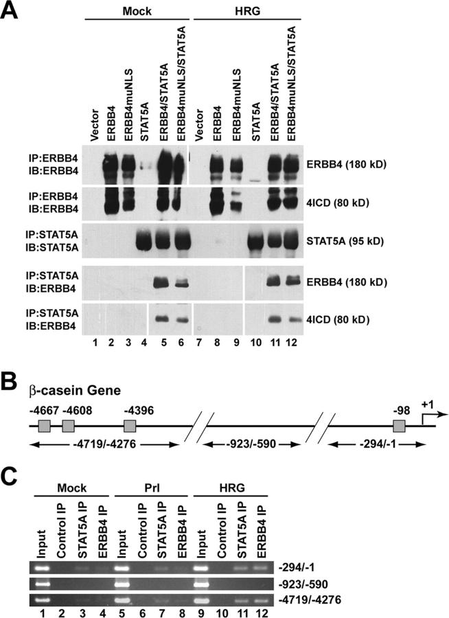 The 4ICD and STAT5A associate in vivo and bind to the endogenous β -casein promoter. (A) 4ICD is associated with STAT5A. COS-7 cells were transfected with the indicated expression plasmids and at 2 d after transfection cells were mock stimulated or stimulated with 50 ng/ml of HRG for 30 min at RT. ERBB4 and STAT5A immunoprecipitates were prepared from cell lysates, resolved by PAGE, and probed for ERBB4 and/or STAT5A by Western blot. White lines indicate that intervening lanes have been spliced out. (B) Schematic of β -casein gene indicating positions of primers for semi-quantitative PCR of distal (−4719/−4276) and proximal (−294/−1) upstream regulatory regions and a promoter region lacking STAT5A GAS binding sites (−923/−590). Gray boxes indicate positions of STAT5A GAS binding sites ( Winklehner-Jennewein et al., 1998 ). (C) Semi-quantitative PCR amplification of <t>DNA</t> bound to ERBB4 and STAT5A isolated by ChIP assay. T47D breast cancer cells were mock stimulated, stimulated with 5 μg/ml of ovine Prl, or stimulated with 50 ng/ml of HRG for 30 min at RT. PFA cross-linked chromatin was immunoprecipitated using control rabbit IgG or antibodies directed against ERBB4 and STAT5A and subjected to 35 cycles of PCR. Input chromatin was prepared from cross-linked and cleared cell lysates using standard DNA precipitation procedures and amplified by PCR as above. PCR amplified samples were resolved on a 2% agarose gel and stained with ethidium bromide.