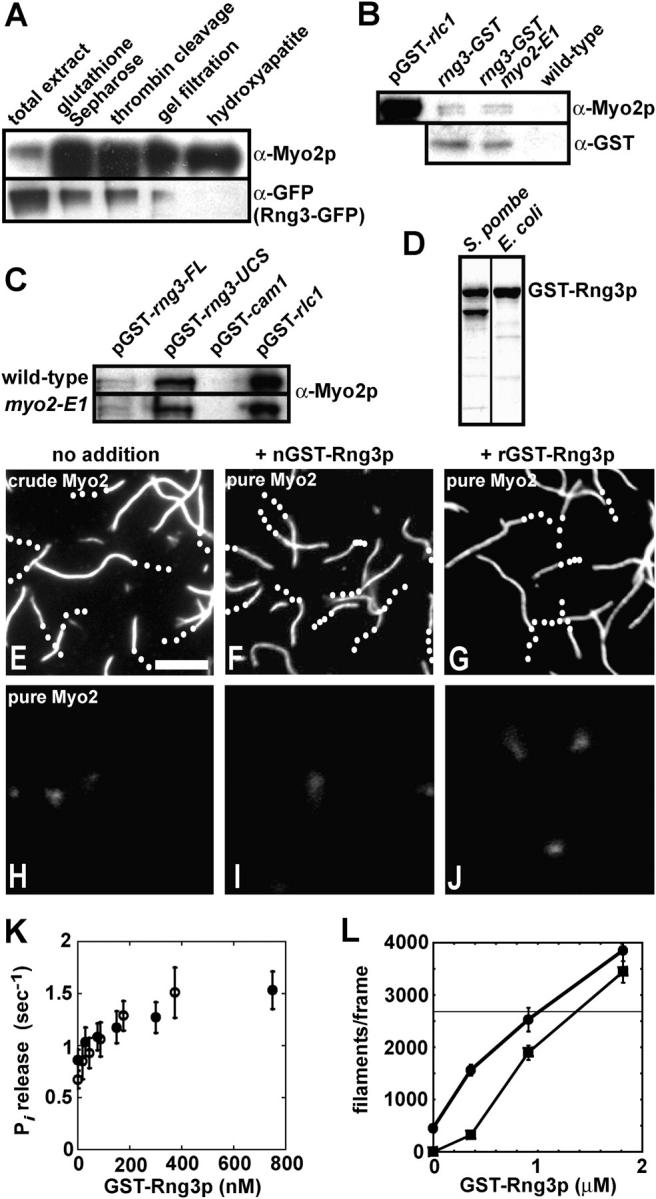 Rng3p stimulates Myo2 activity. (A) Lanes 1–5 show samples from steps in the purification of Myo2 from a strain (MLP 676) containing a chromosomal rng3-GFP 3 fusion overexpressing Myo2p from the 41nmt1 promoter and GST-tagged light chains from pGST- cdc4 and pGST- rlc1 . Samples were run on an SDS-PAGE gel, immunoblotted and probed with Myo2 heavy chain antibodies (top) and GFP antibodies (bottom). (B) Bead binding assay for interaction of chromosomal Rng3p-GST with Myo2. Strains: FY 435 carrying pGST- rlc1 , MLP 694 ( rng3-GST ), MLP 693 ( rng3-GST , myo2-E1 ), and MLP 695 (wild-type). GST proteins from extracts were affinity purified on glutathione-Sepharose. Bound proteins were separated by SDS-PAGE and analyzed by immunoblotting with antibodies to Myo2p heavy chain (top) and Rng3p-GST (α-GST; bottom). pGST- rlc1 , positive control with GST-Rlc1p. wild type, negative control lacking a GST fusion. (C) Bead binding assay for interaction of overexpressed GST-Rng3p (pGST- rng3 - FL ) and GST-Rng3-UCS domain (pGST- rng3 - UCS ) with Myo2. Strains: FY 435 (wild-type) and TP 73 ( myo2-E1 ) carrying plasmids pGST- rng3 , pGST- rng3-UCS , pGST- cam1 , and pGST- rlc1 . GST proteins from extracts were affinity purified on glutathione-Sepharose. Bound proteins were separated by SDS-PAGE and analyzed by immunoblotting with antibodies to Myo2p heavy chain. pGST- cam1 , negative control with GST-Cam1p. pGST- rlc1 , positive control with GST-Rlc1p. (D) GST-Rng3p purified from S. pombe and recombinant GST-Rng3p purified from Escherichia coli . SDS-PAGE gel stained with Coomassie blue. Lower band in the S. pombe lane represents a breakdown product. (E–J) Actin filament gliding assays. Time-lapse fluorescence micrographs of filaments labeled with rhodamine-phalloidin (also, see Videos 1 and 2, available at http://www.jcb.org/cgi/content/full/jcb.200404045/DC1 ). Trajectories are indicated with white dots marking the trailing end of filaments at 2-s intervals. Bar, 5 μm. Conditions: