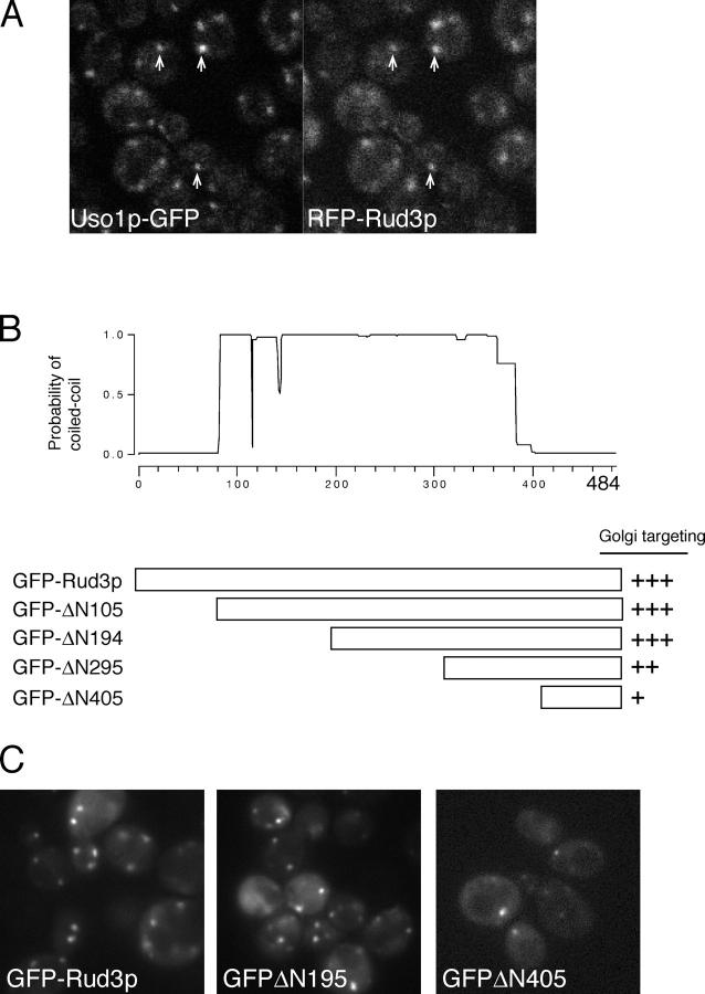 The COOH terminus of Rud3p mediates Golgi association. (A) Fluorescent micrographs of live yeast expressing the indicated fusion proteins. Uso1p was tagged with GFP at the COOH terminus in the genome of the wild-type strain BY4741, whereas RFP-Rud3p was expressed from a CEN plasmid under the control of a constitutive version of the PHO5 promoter. The two proteins were found to be localized to the same punctate structures, as illustrated by those marked with arrows. (B) Schematic diagram of truncations made in the RUD3 ORF in the yeast strain SEY6210 ( Robinson et al., 1988 ) by insertion by homologous recombination of a cassette encoding a PHO5 promoter and an NH 2 -terminal GFP tag. Also shown is a coiled-coil prediction for Rud3p ( Lupas, 1996 ). (C) Fluorescent micrographs of live yeast expressing the indicated GFP-Rud3p truncations as in B.