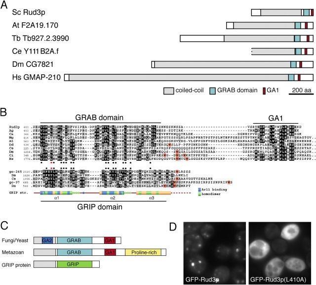 Rud3p is a member of a family of coiled-coil proteins with a conserved COOH-terminal domain. (A) Schematic representation of S. cerevisiae Rud3p and its relatives from the indicated species. At, A. thaliana ; Ce, C. elegans ; Dm, D. melanogaster ; Hs, Homo sapiens ; Sc, S. cerevisiae ; Tb, Trypanosoma brucei . (B) Alignment of the COOH-terminal regions of the GRAB domain proteins with those of GRIP domain proteins golgin-245 and golgin-97, and the structure of the GRIP domain of human golgin-245. The two sets of sequences were independently aligned with CLUSTAL W and shaded where more than half the residues are related (gray) or identical (black). Hydrophobic residues conserved in each set are marked with filled circles and with a red circle for the critical tyrosine in the GRIP domain, and the leucine is in the equivalent position in Rud3p. In both alignments the tryptophans are shaded orange and cluster downstream of the conserved region. In the case of golgin-245, the tryptophan apparently stabilizes the interaction of the GRIP domain with Golgi membranes ( Panic et al., 2003a ). (C) A schematic representation of the GRAB domain proteins from metazoans and yeasts, along with a GRIP domain protein. All contain either a GRIP or GRAB domain, and the latter have a downstream GA1 motif. Metazoan GRAB proteins also have an extended, proline-rich, COOH-terminal region, whereas GRAB proteins from yeasts and filamentous fungi have an upstream region of sequence conservation (GA2, blue). (D) Fluorescent micrographs of rud3 Δ cells expressing GFP-tagged wild-type Rud3p or the mutant L410A as in Fig. 1 A.