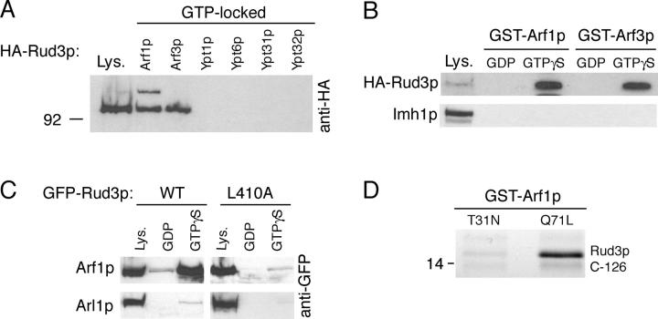 Rud3p interacts with the small GTPase Arf1p. (A) Anti-HA protein blot of total cell lysate (Lys.) from a strain expressing Rud3p tagged in the genome with an NH 2 -terminal HA epitope tag (AGY10) and of proteins that bound to GST fusions of the GTP-locked versions of Arf1p, Arf3p, Ypt1p, Ypt6, Ypt31p, and Ypt32p. For the GTP-locked forms of Arf1p (Q71L) and Arf3p (Q71L), the first 14 amino acids that form an amphipathic helix were removed and replaced with an NH 2 -terminal GST tag. For Ypt1p (Q67L), Ypt6p (Q67L), Ypt31p (Q72L), and Ypt32p (Q72L), the COOH-terminal cysteine residues were replaced with a COOH-terminal GST tag. Lysate is 10% of material applied to beads. (B) Anti-HA protein blot of total cell lysate (Lys.; 10% of material loaded) and proteins that bound to GST fusions of wild-type Arf1p and Arf3p preloaded with GDP or a nonhydrolysable analogue of GTP, GTPγS. The blot was stripped and reprobed with a rabbit antibody against Imh1p. (C) As for GST-Arf1p in B, except cell lysates were prepared from a strain expressing either GFP-Rud3p or the mutant proteins L410A expressed under the control of a constitutively active PHO5 promoter from the CEN plasmid pRS416. (D) Binding of the COOH-terminal 126 amino acids of Rud3p to Arf1p (T31N) or Arf1p (Q71L). The indicated forms of GST-Arf1p were coexpressed in E. coli with the COOH terminus of Rud3p, and after cell lysis isolated on glutathione Sepharose beads. Bound proteins were analyzed by gel electrophoresis, and the indicated band was identified as the COOH terminus of Rud3p by matrix-assisted laser desorption ionization mass spectrometry of tryptic peptides ( Shevchenko et al., 1996 ).