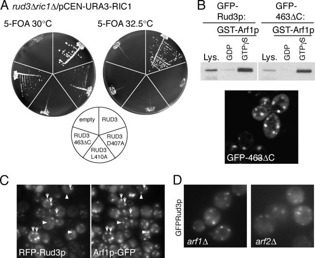 COOH-terminal mutants of Rud3p are not functional. (A) Growth at the indicated temperatures of yeast lacking genomic copies of both RIC1 and RUD3 , but containing the either an empty plasmid or expressing wild-type or mutant GFP-Rud3p (indicated on the diagram) from a constitutive PHO5 promoter. Cells lacking RUD3 and with only copy of RIC1 on a CEN , URA3 plasmid were transformed with CEN , LEU2 plasmids expressing GFP-Rud3p or mutants, and the yeast plated onto plates containing 5-fluoroorotic acid (5-FOA) to remove the RIC1 containing URA3 plasmid. (B) A yeast strain expressing GFP-tagged Rud3p lacking the GA1 motif (463ΔC) was used in a binding assay as in Fig. 3 C with GST-Arf1p loaded with either GDP or GTP-γ-S. Also shown is a fluorescent micrograph of live yeast lacking genomic RUD3 and expressing GFP-Rud3p463ΔC. (C) Fluorescent micrographs of a rud3 Δ strain with the ARF1 ORF tagged in the genome with a COOH-terminal GFP tag (AGY26) and expressing RFP-Rud3p under the constitutive PHO5 promoter from the CEN plasmid pRS416. Some structures contain both RFP-Rud3p and Arf1p-GFP (arrows) and some contain just the latter (arrowheads). (D) Fluorescent micrographs of live BY4741 yeast with the indicated genes deleted and expressing GFP-Rud3p as in Fig. 1 C.