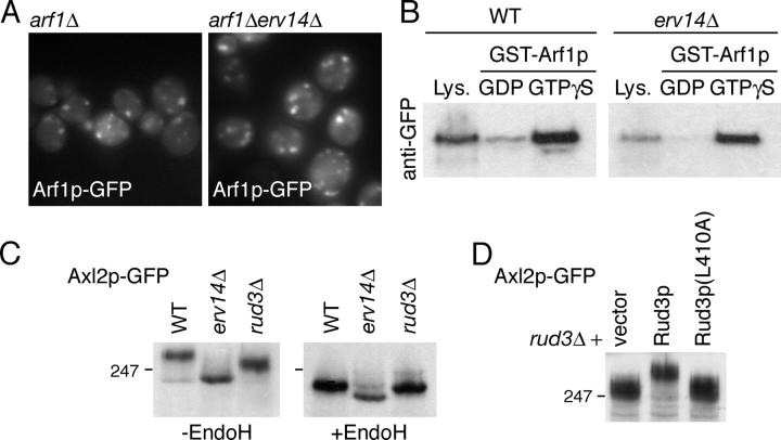 Erv14p and Rud3p in Golgi function. (A) Fluorescent micrographs of yeast (BY4741) expressing Arf1p-GFP from a CEN , URA3 plasmid, with the genomic copies of ARF1 and ERV14 deleted as indicated. (B) Anti-GFP protein blot of lysates (Lys.; 10% of material loaded) from wild-type BY4741 (WT) or erv14 Δ cells expressing GFP-Rud3p or of the proteins bound when the lysates were applied to immobilized GST-Arf1p loaded with the indicated nucleotides, as in Fig. 3 C. (C) Anti-GFP protein blot of total cellular proteins from BY4741 (WT) or the indicated strains expressing Axl2p-GFP from a CEN plasmid, with or without endoglycosidase H digestion. (D) As C, except that the cells were rud3 Δ and contained either an empty CEN vector or the same with the indicated forms of GFP-Rud3p.