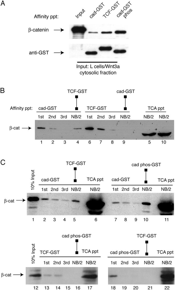 Cadherin phosphorylation reverses β-catenin binding selectivity during Wnt signaling. (A) Phosphorylation of cad-GST increases β-catenin binding to cadherin compared with TCF. A cytosolic fraction from L cells transfected with Wnt3a were incubated with equimolar amounts of cad-GST, TCF-GST, and CK2-P-cad-GST-glutathione–coupled beads for 1 h at 4°C (see Fig. S1 for characterization of GST fusion proteins). The resulting anti–β-catenin and anti-GST immunoblots are shown. (B) Fraction of β-catenin that binds cadherin is a subset of fraction of β-catenin that binds TCF. Cytosolic fraction of Wnt cells was sequentially affinity precipitated with cad-GST (lanes 1–3) or TCF-GST (lanes 6–8) proteins. After cad-GST depletion (lanes 1–3), half of the cad-GST non-binding fraction (NB/2) was precipitated with TCF-GST (lane 4); the other half was precipitated with TCA to show amount remaining (lane 5, far right). After TCF-GST depletion (lanes 6–8), half of the TCF-GST non-binding fraction (NB/2, lane 9) was precipitated with cad-GST, whereas the other half was precipitated with TCA to show amount remaining (lane 10, far right). Lanes 5 and 10 reveal a fraction of β-catenin that binds neither TCF nor cadherin. This fraction is likely due to β-catenin already complexed with partners such as ICAT ( Gottardi and Gumbiner, 2004 ). (C) Phosphorylated cadherin-GST and TCF-GST bind the same pool of β-catenin in Wnt-activated cells. Cytosolic fraction was precipitated with cad-GST (top blot), TCF-GST (bottom left) or P-cadherin-GST (bottom right) fusion proteins. After cad-GST depletion (lanes 2–4 and 7–9), there is a fraction of β-catenin that binds TCF-GST (lane 5) and P-cadherin-GST (lane 10). Note that after TCF-GST depletion (lanes 13–15), there is no β-catenin remaining to bind P-cadherin-GST (lane 16). After P-cadherin-GST depletion (lanes 18–20), there is no β-catenin remaining to bind TCF-GST (lane 21). Reciprocal depletions suggest that P-cadherin-GST and TCF-GST bind the same form of β-catenin.