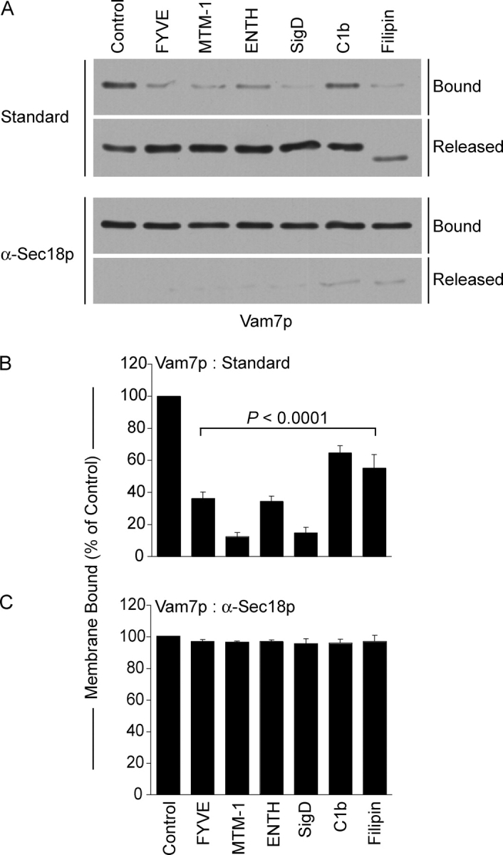 Regulatory lipids are required for vacuolar association of Vam7p. Vam7p association with vacuolar membranes was assayed by immunoblot in fusion reactions without inhibitor or with 2 μM GST-FYVE, 10 μM C1b, 19 μM filipin, 38 μM GST-ENTH, 2 μM SigD, or 1 μM MTM-1. Reactions were also performed in the presence of anti-Sec18p F ab to inhibit priming. Fusion reactions were incubated for 90 min at 27°C, then fractionated into membrane pellets and supernatants by centrifugation (13,000 g , 15 min, 4°C). Membranes were resuspended in 30 μl PS buffer with protease inhibitors (1 μM leupeptin, 5 μM pepstatin and 0.1 μM pefabloc-SC). (A) Equal proportions of the pellet and supernatant fractions were mixed with SDS-loading buffer, resolved by SDS-PAGE, then transferred to nitrocellulose. (B and C) Quantitative analysis of membrane-bound Vam7p by Western blots. Data represent mean values ± SEM. Relative band intensities were measured using NIH Image 1.62 ( n = 4).