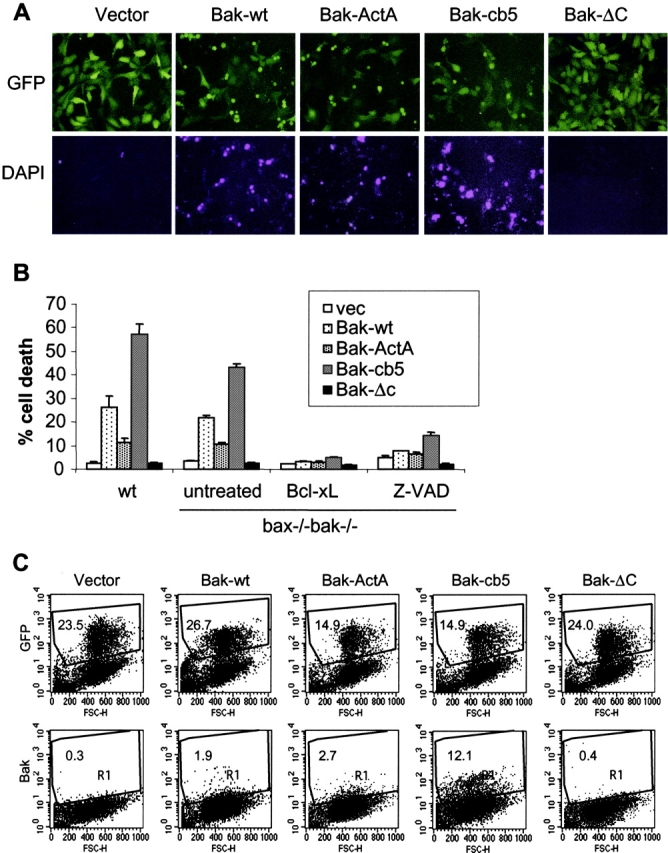 The ER-targeted <t>Bak</t> can induce apoptosis in the absence of endogenous <t>Bax</t> and Bak. Wild-type and bax − / − bak − / − MEFs were infected with retroviruses expressing GFP or GFP together with wild-type murine Bak, Bak-ActA, Bak-cb5, or Bak-ΔC. 48 h after infection, 1 μg/ml DAPI was added to stain the apoptotic cells. (A) bax − / − bak − / − cells were photographed using a FITC or DAPI filter. (B) The percentage of dead cells was determined by the ratio of DAPI-positive cells to GFP-positive cells. In addition to the retroviral infection of the Bak mutants, bax − / − bak − / − cells were also coinfected with retrovirus expressing Bcl-xL, or infected in the presence of 20 μg/ml Z-VAD-fmk. Data shown are the average of three independent experiments. (C) 24 h after infection, bax − / − bak − / − cells were trypsinized. A portion of each sample was subjected to FACS ® to determine the expression efficiency indicated by GFP-positive cells. The rest of the cells were fixed in 0.25% paraformaldehyde and stained with an anti-Bak antibody that recognizes the active form of murine Bak. The number in each dot plot represents the percentage of gated events (R1).
